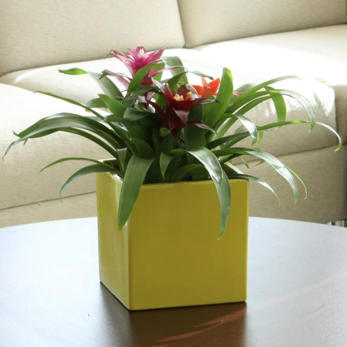 Bromeliad house plant