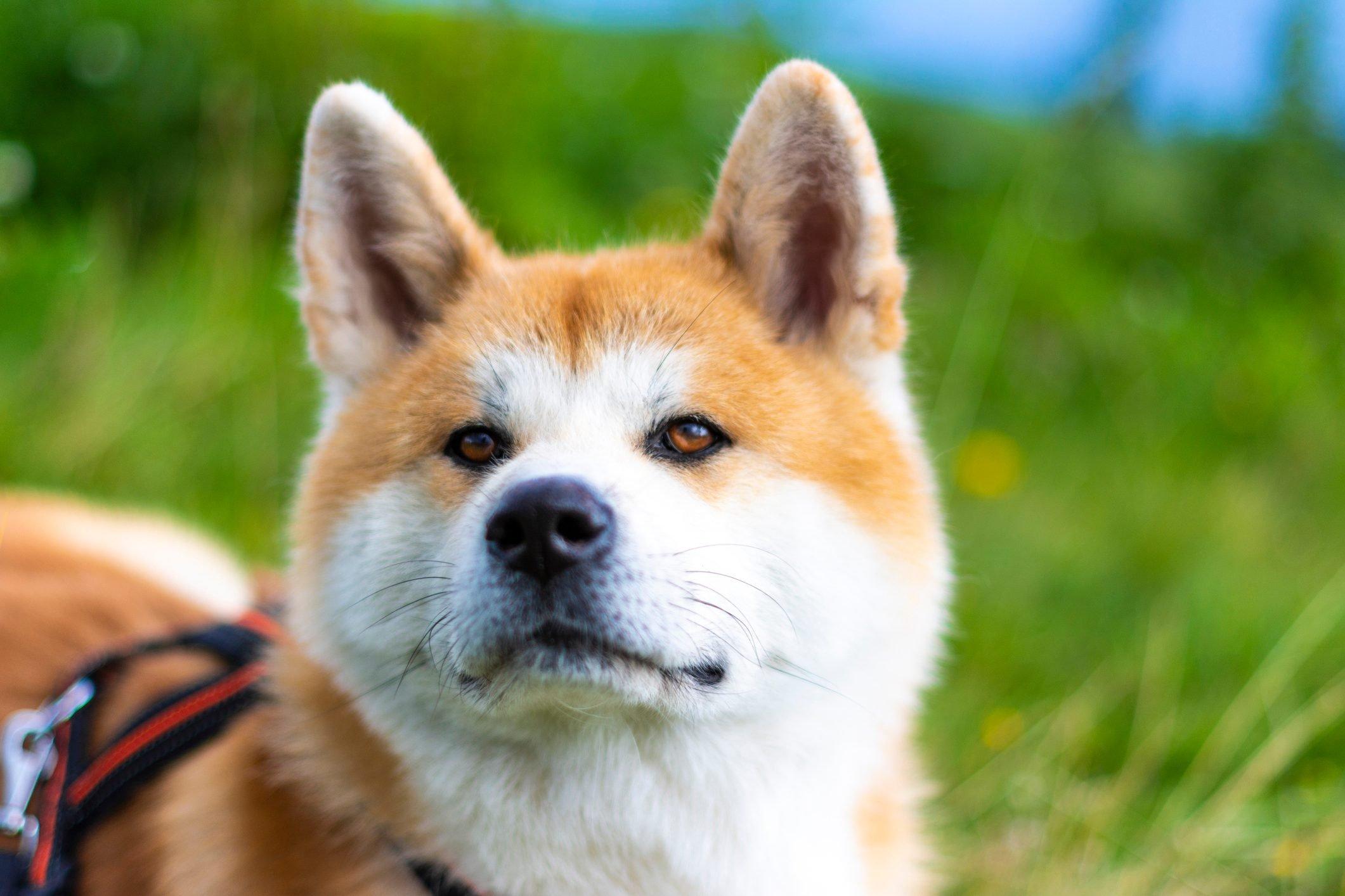 Close-Up Of Japanese Akita