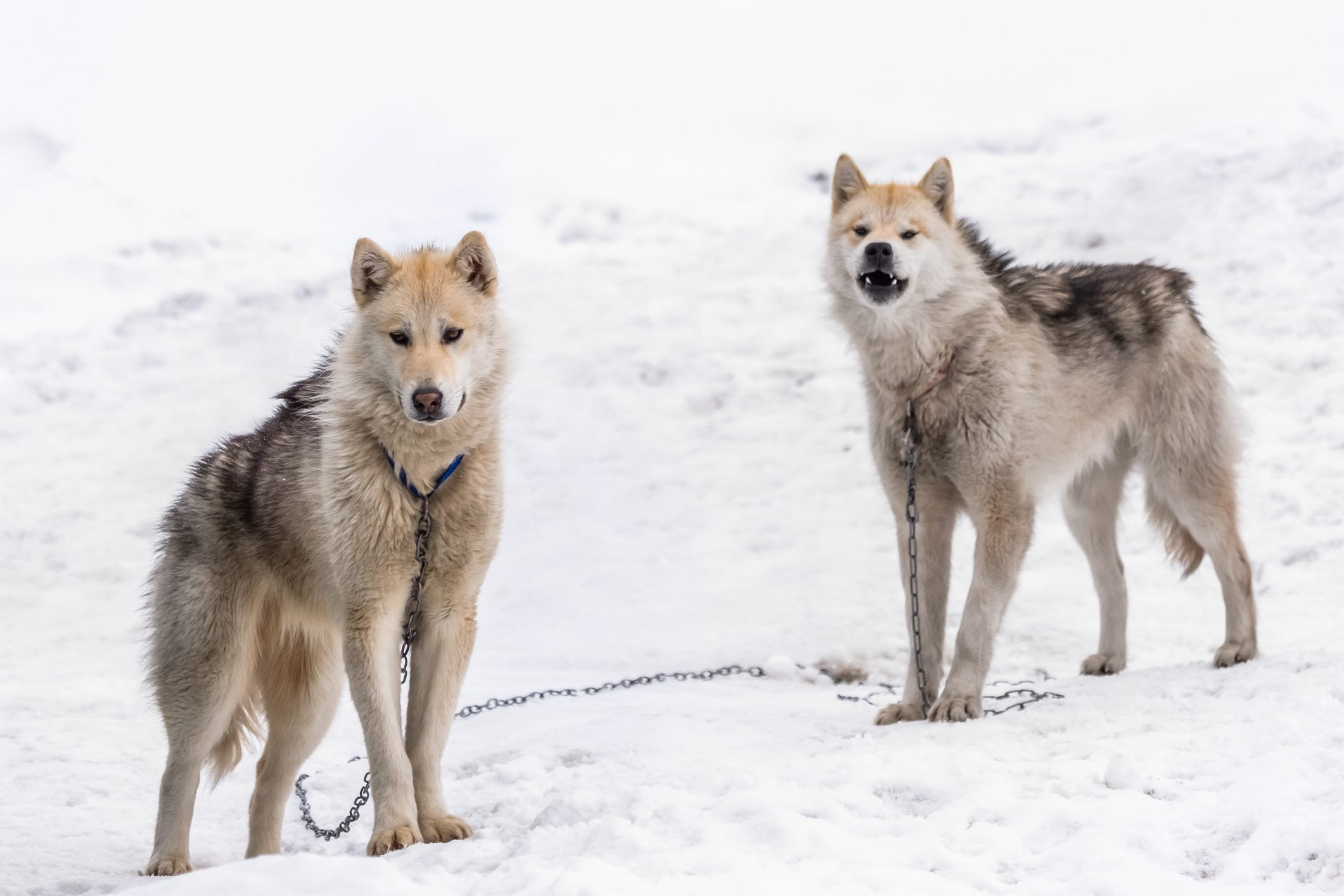 Two Greenlandic Inuit sledding dogs standing on alert in the snow, Sisimiut, Greenland