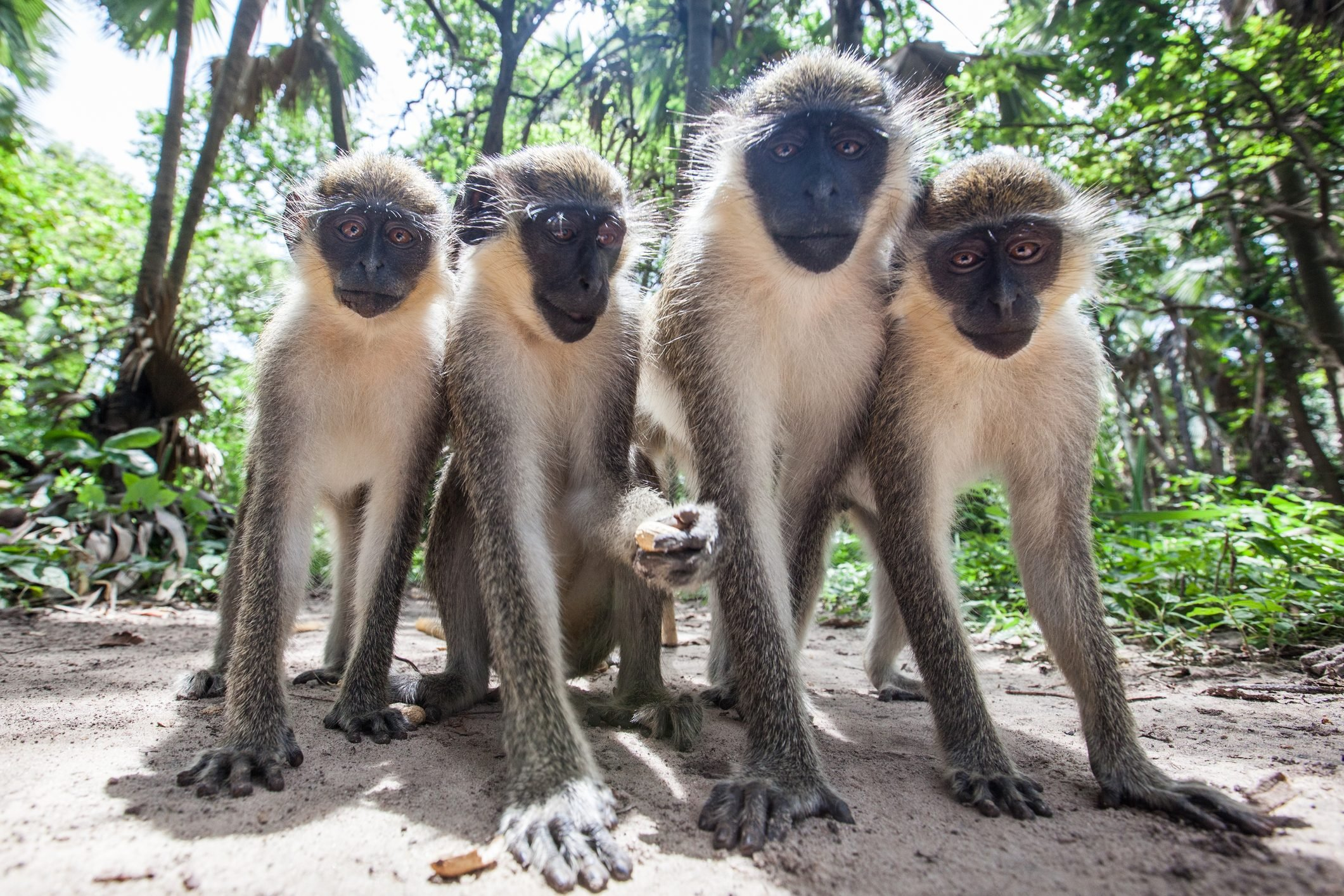 Monkeys pose for a photo in The Gambia