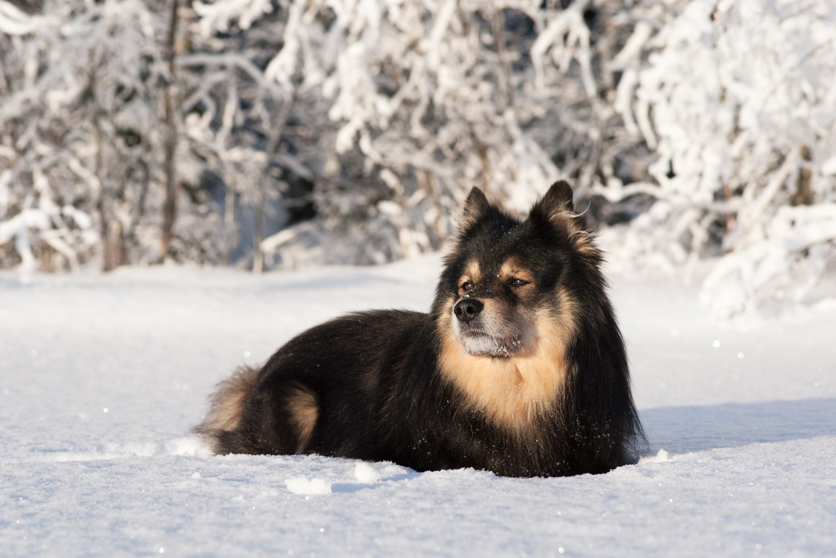 Finnish Lapphund in snow