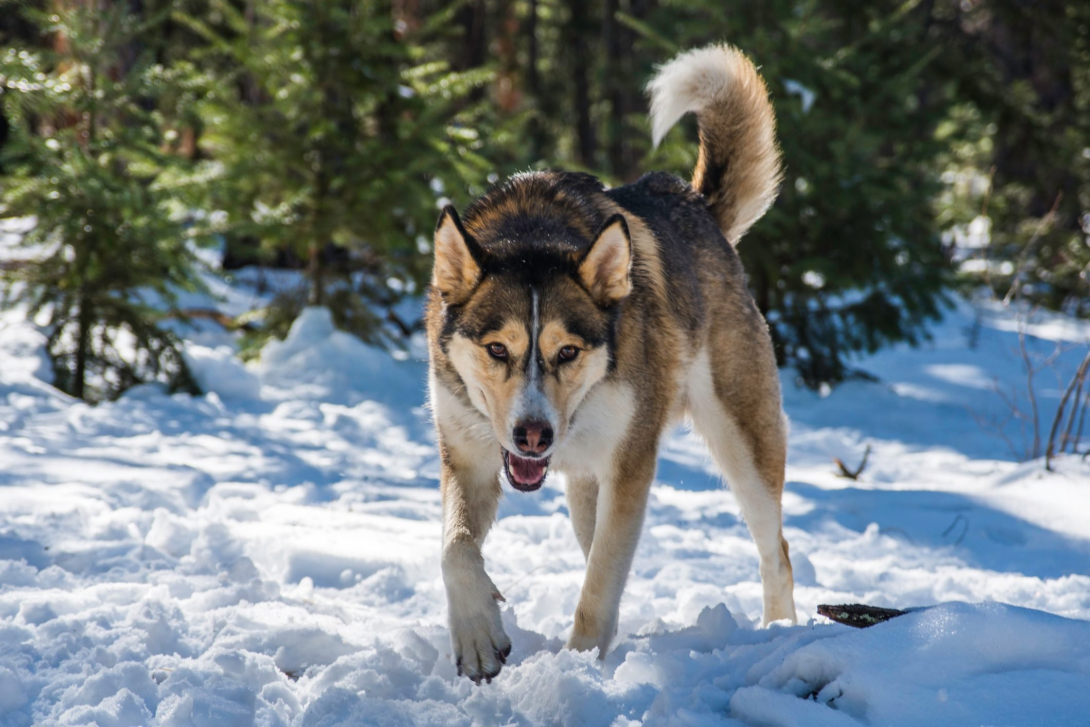 Husky dog walking on snow