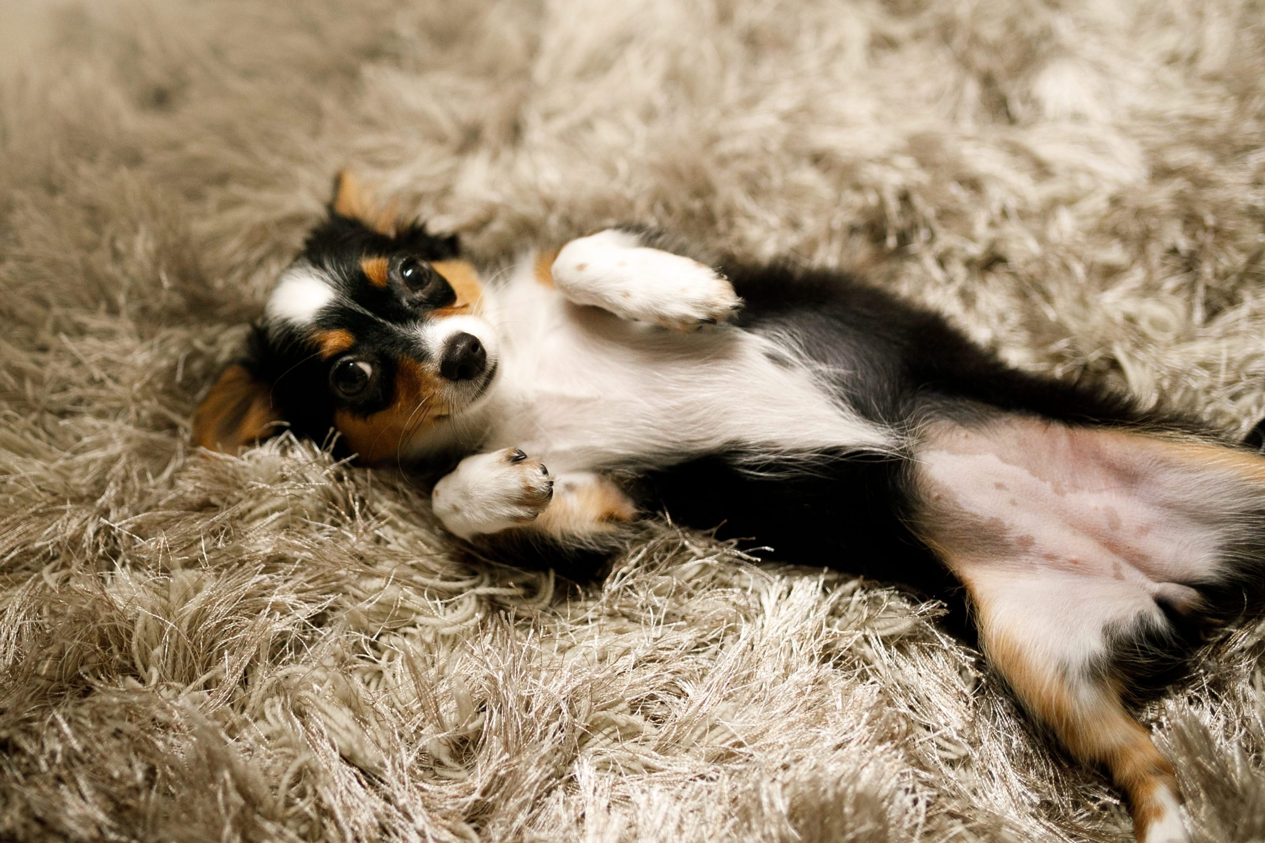 Chihuahua puppy asking for belly rubs