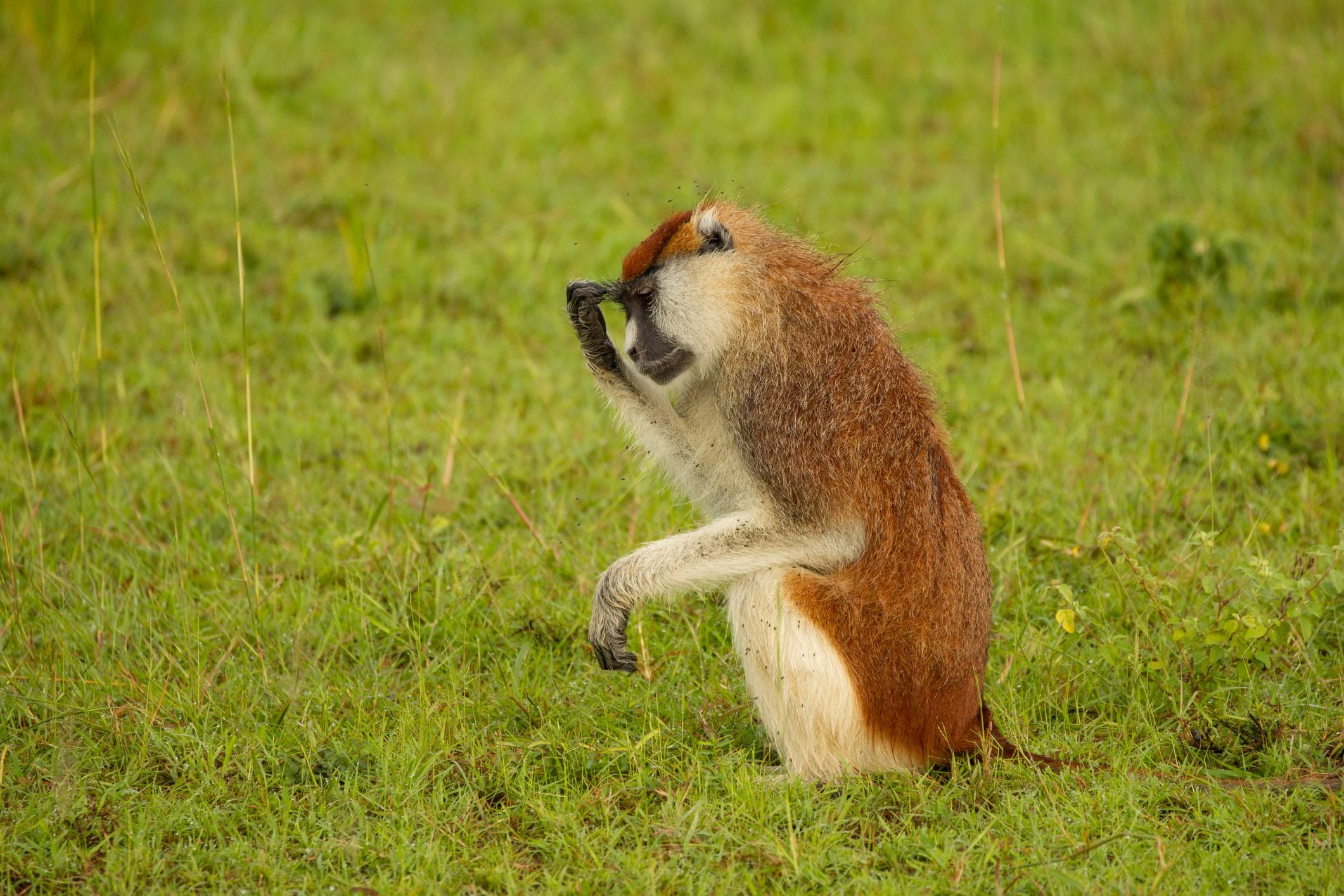 Patas Monkey (erythrocebus patas) sitting up with hand on forehead, portrait, Murchison Falls National Park, Uganda