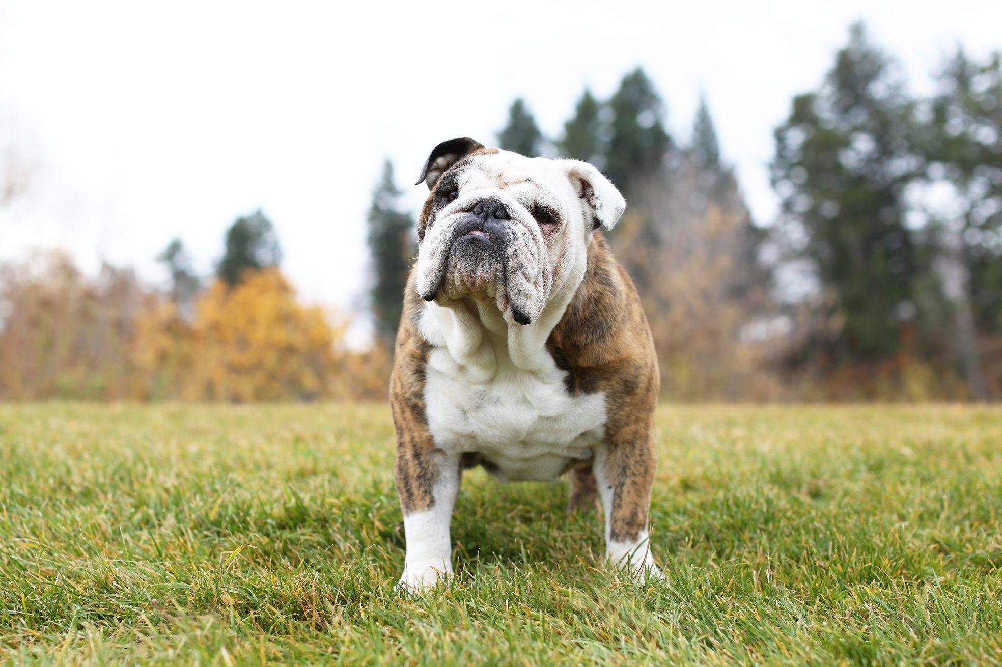 Portrait of bulldog standing on park grass