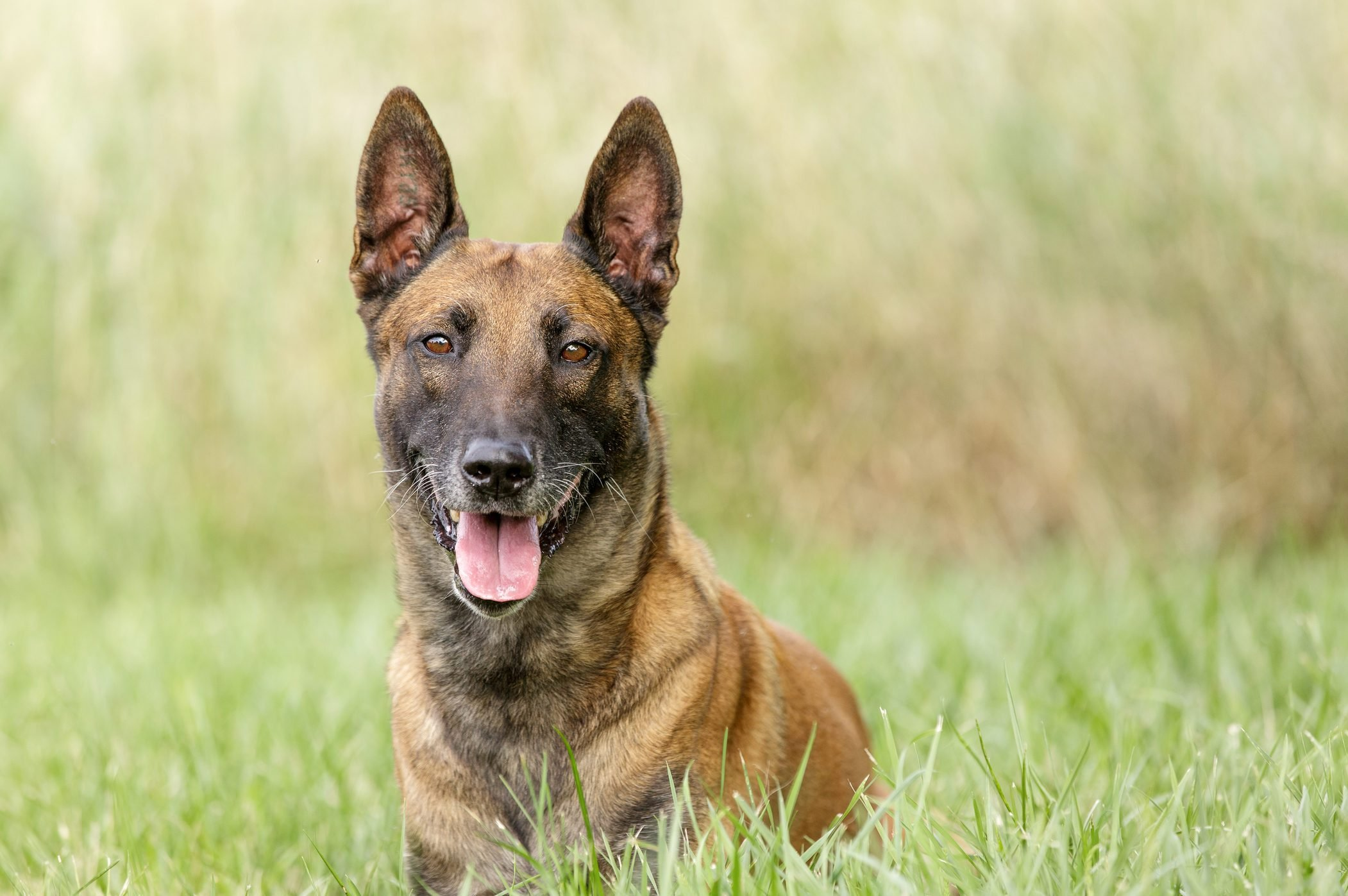 Belgian Malinois laying down in grassy field
