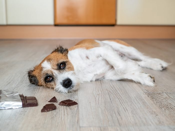 Small mixed-breed dog with chocolate and abdominal pain on the ground