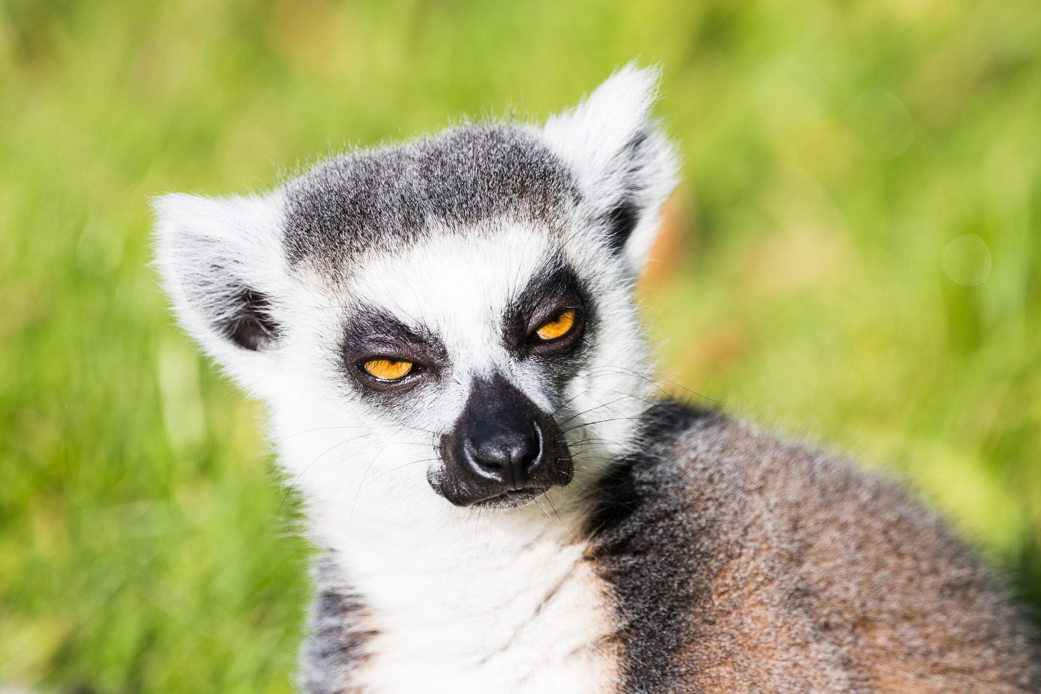 Ring tailed lemur gazes