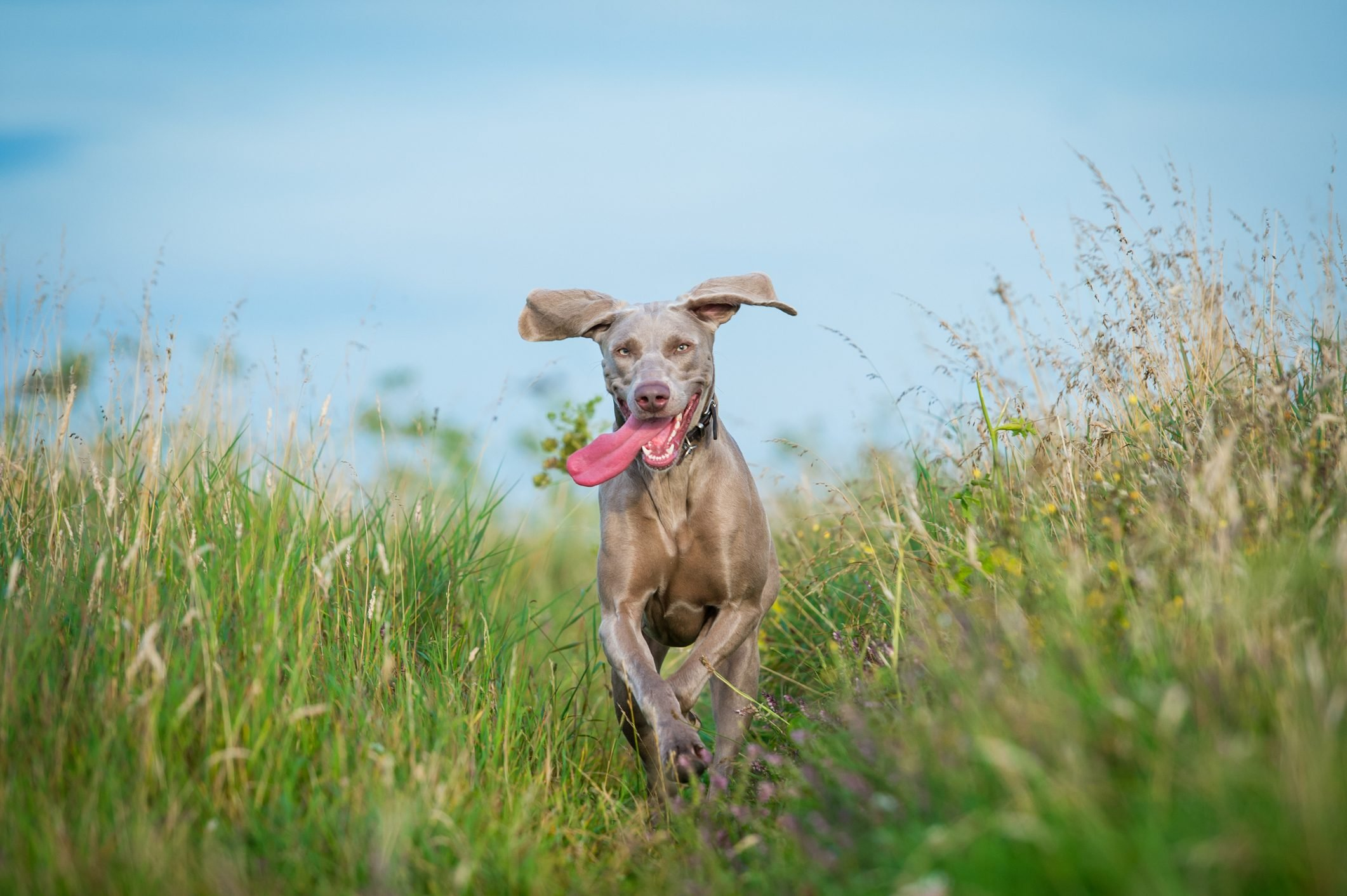 Weimaraner Dog running in the countryside
