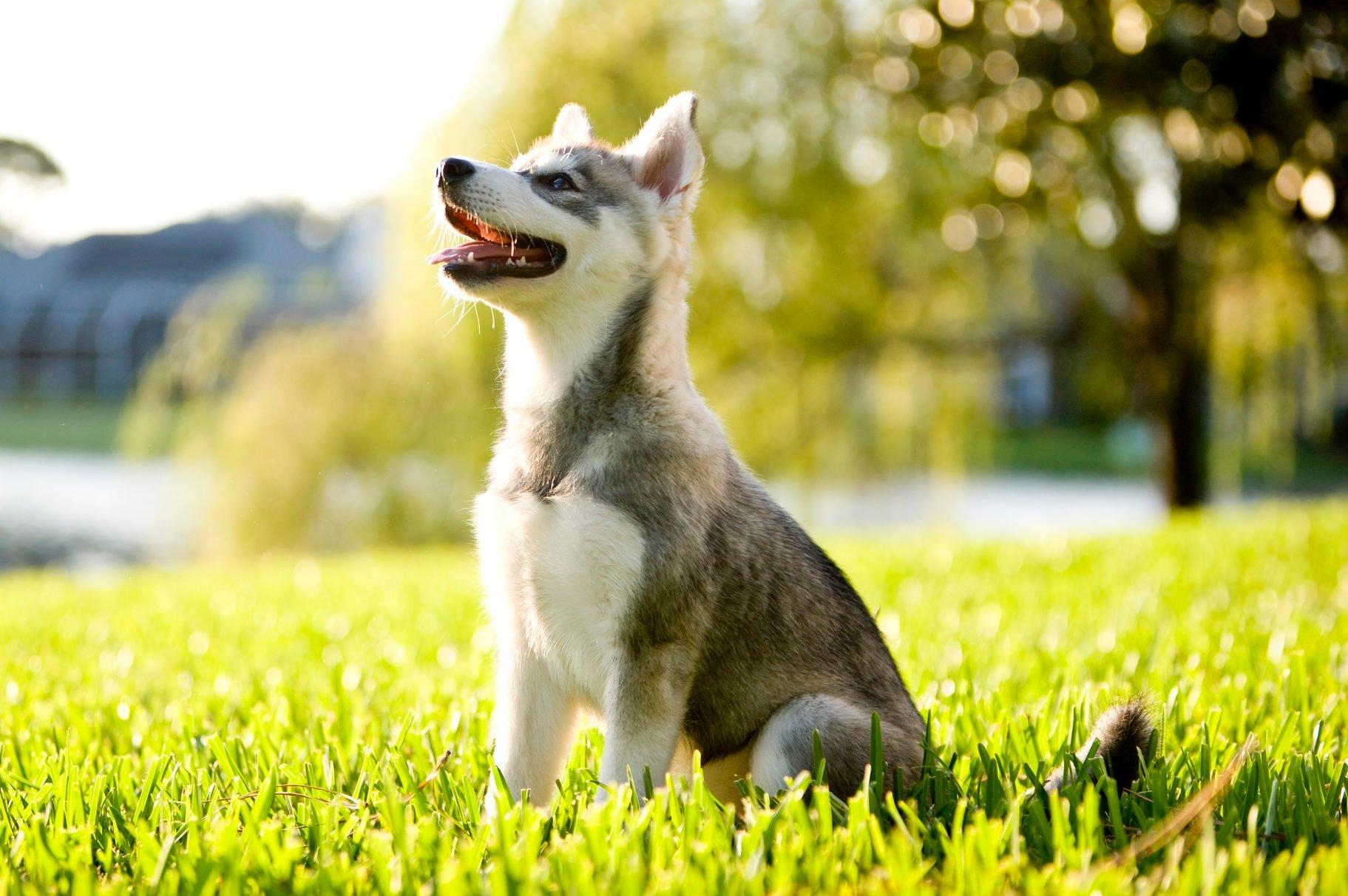 Alaskan Klee Kai puppy sitting on grass looking up