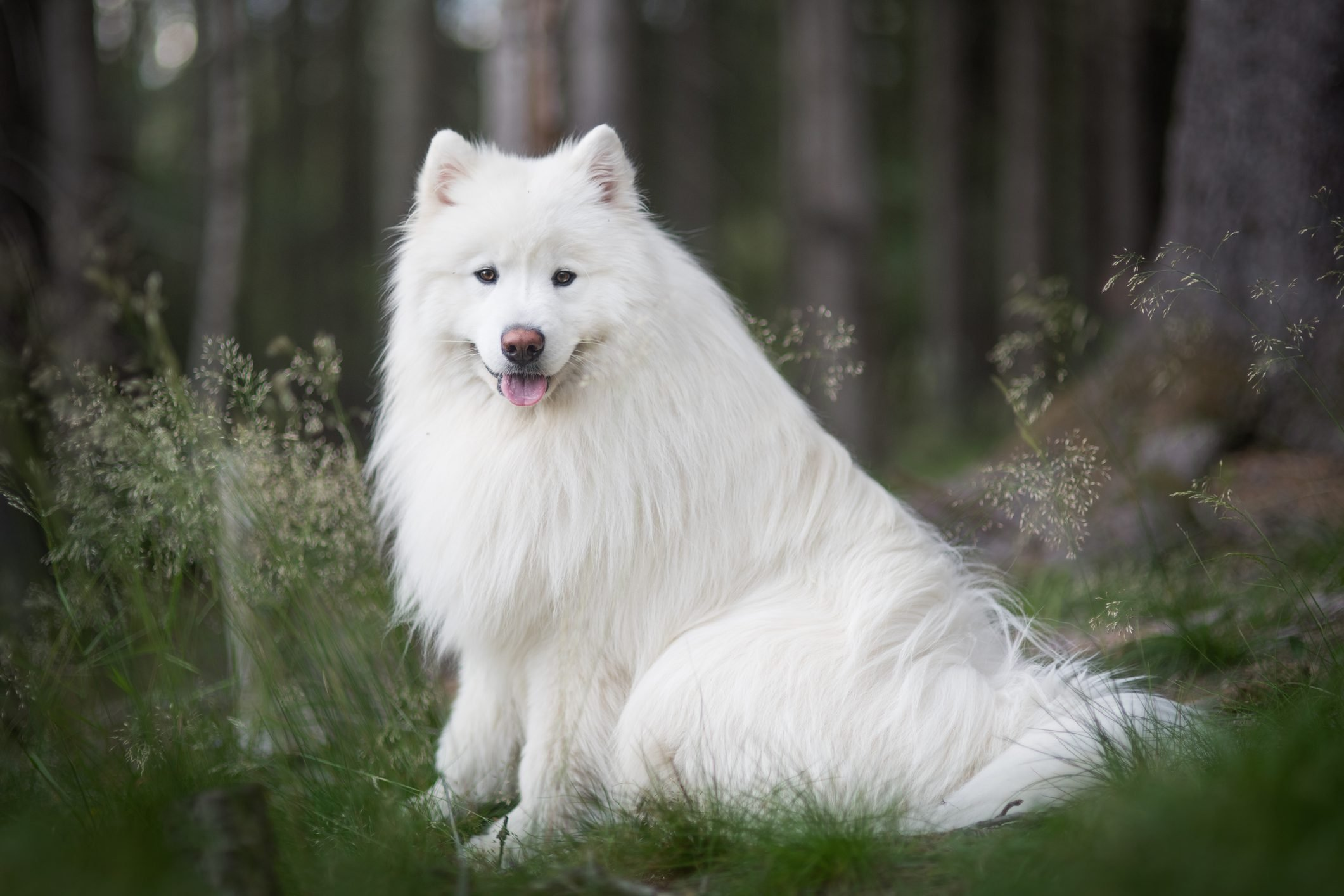 Close up portrait of samoyed in forest