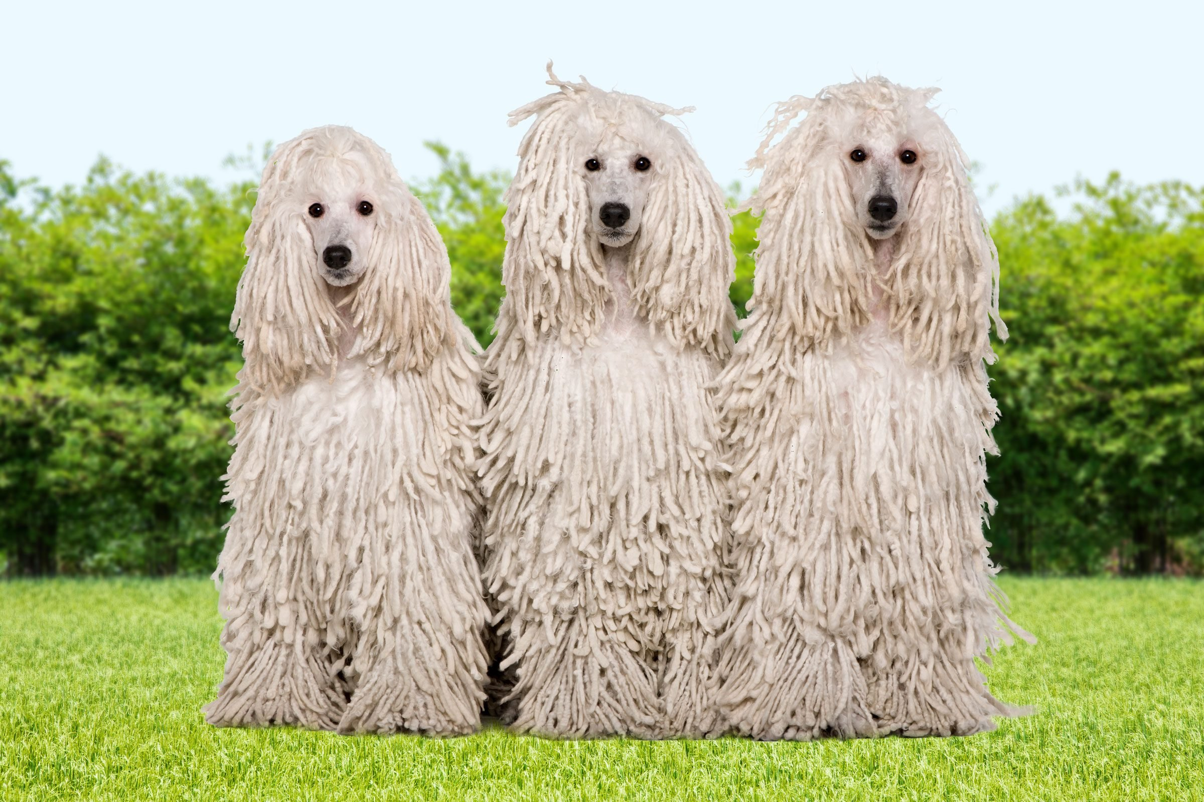 three corded poodles in the grass