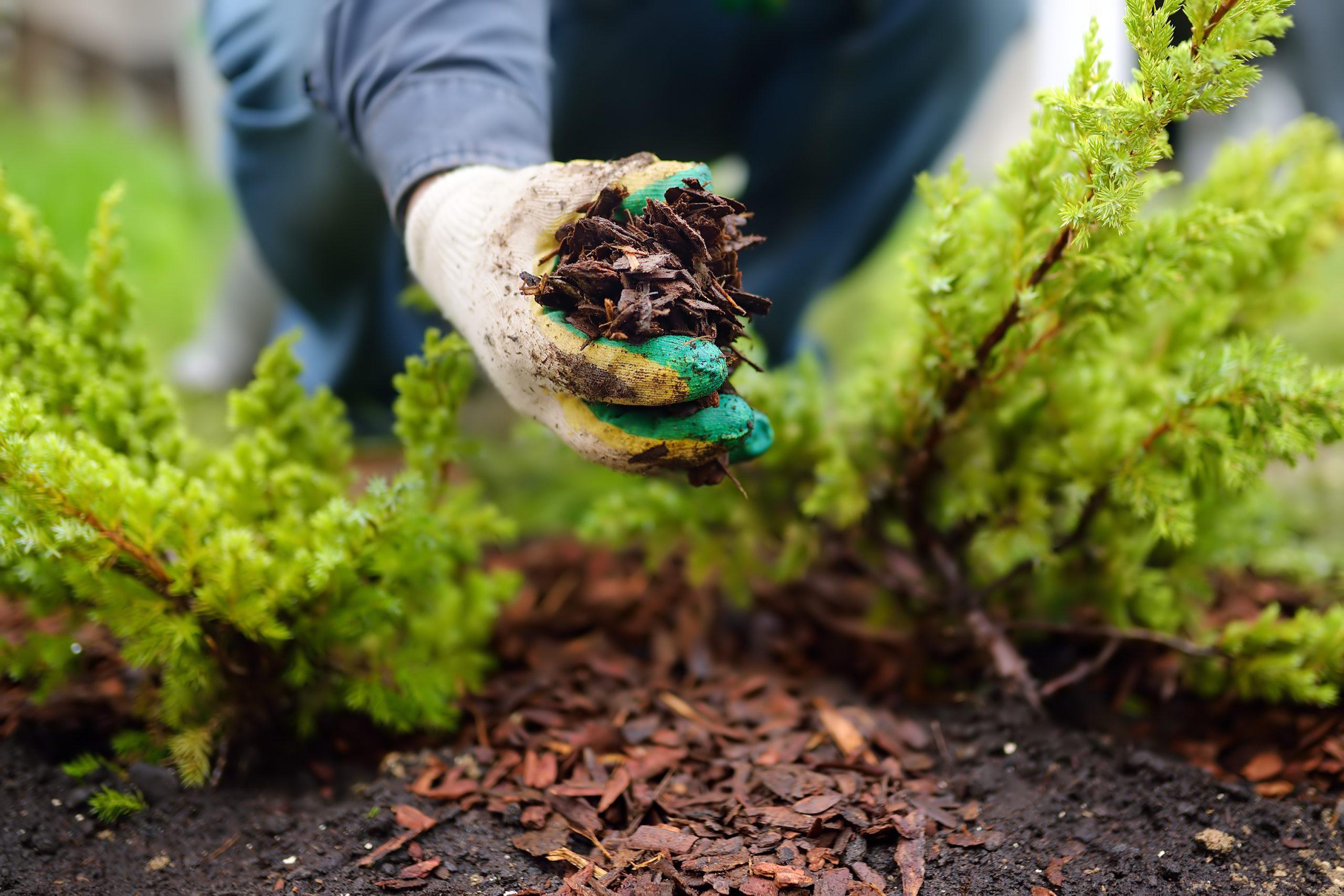 Gardener mulching with pine bark juniper plants in the yard. Seasonal works in the garden. Landscape design.