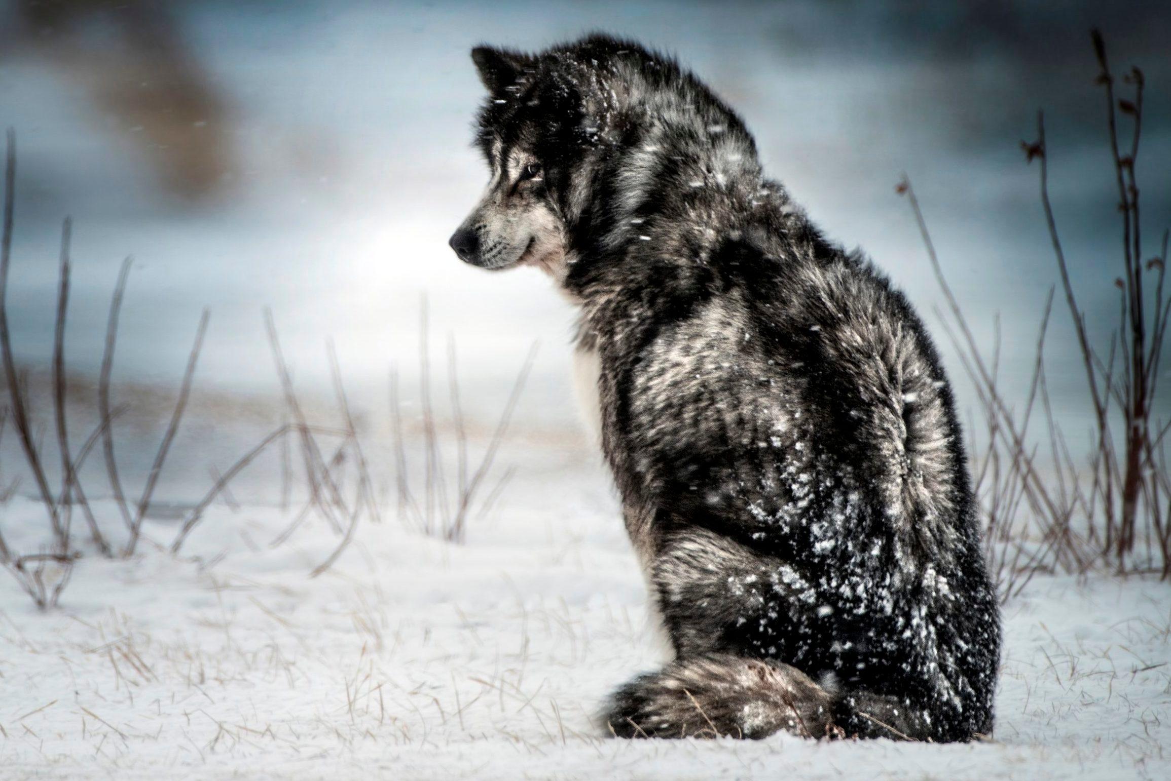 Canadian Eskimo Dog. Churchill. Manitoba. Canada. North America