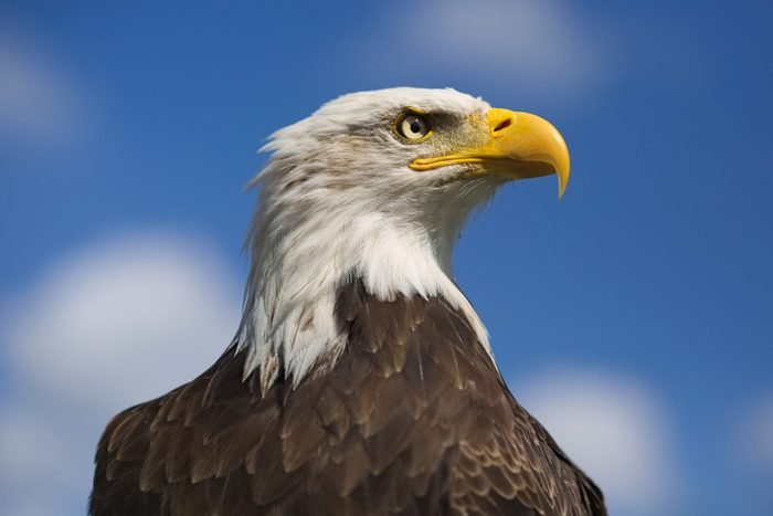 Close-Up Of Bald Eagle Looking Away