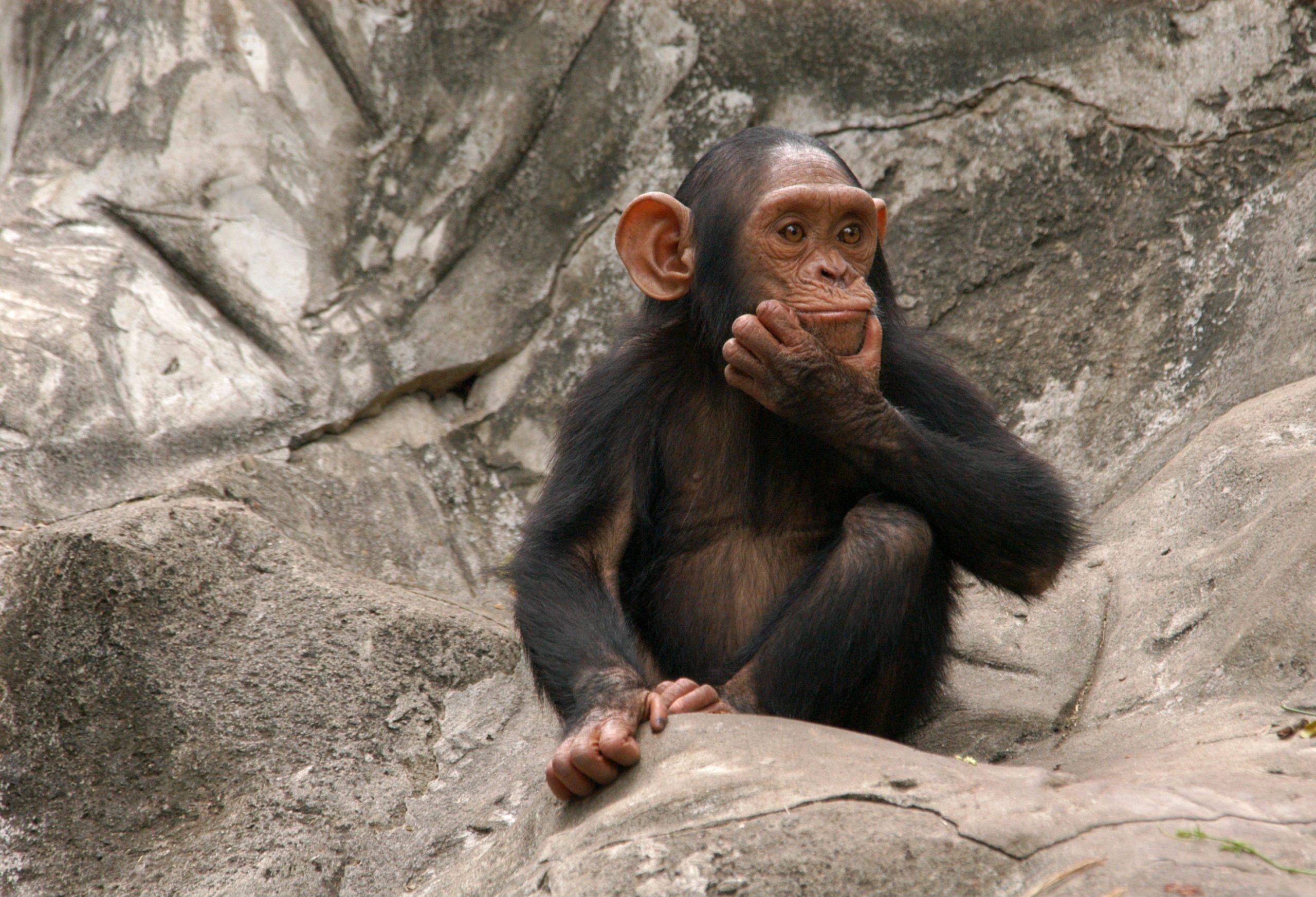 Baby chimpanzee sitting on rocks