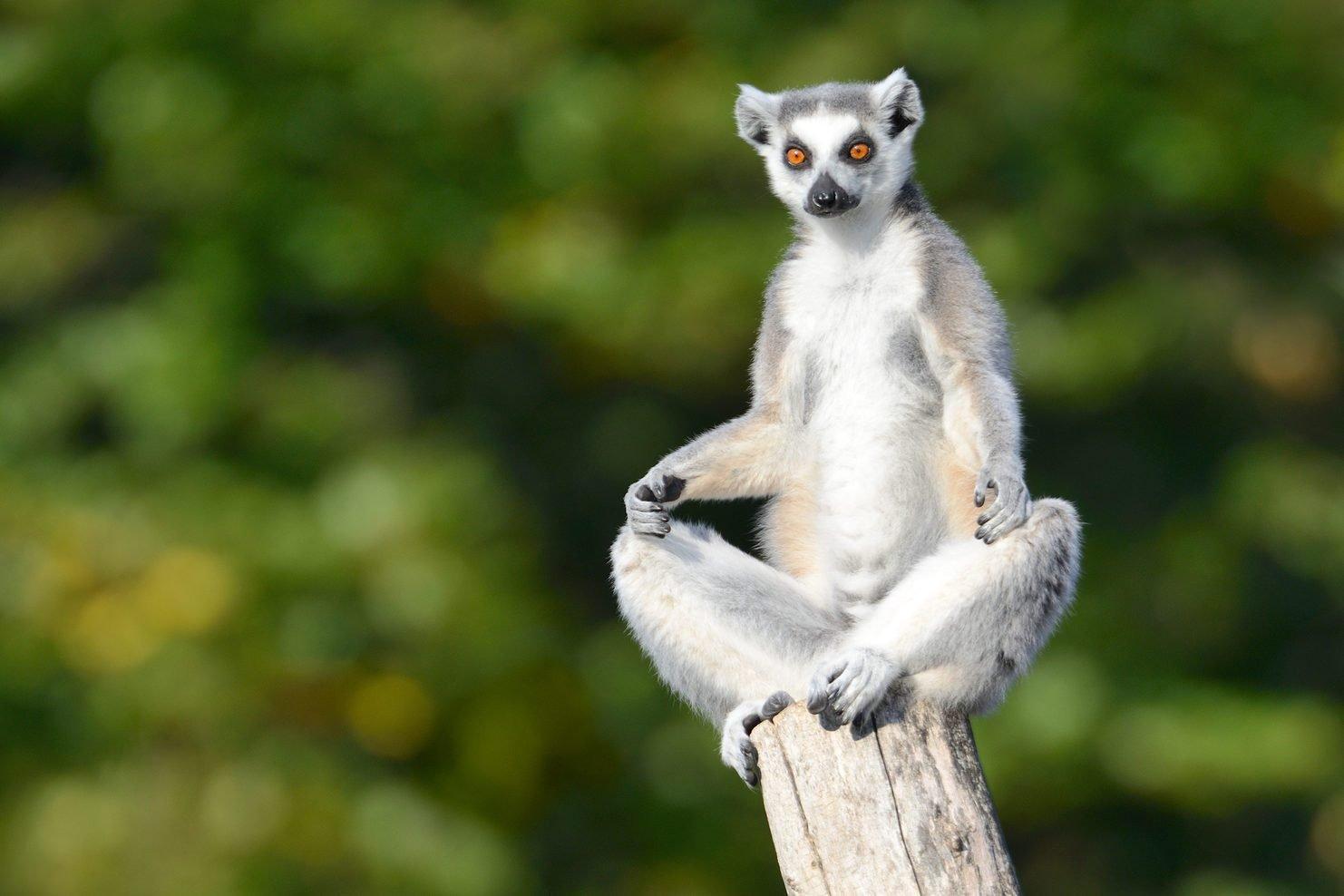 Lemur practicing Yoga (XXXL)