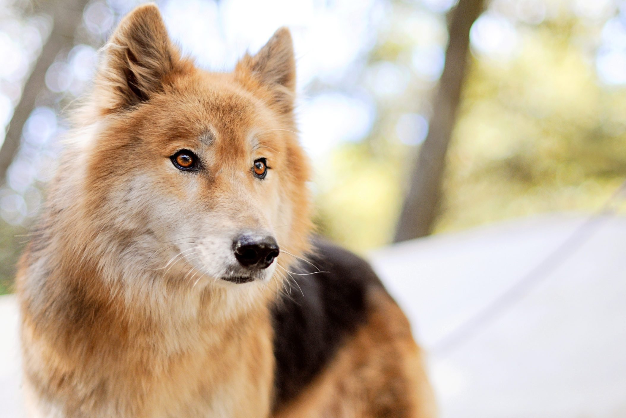 Dog that looks like a wolf