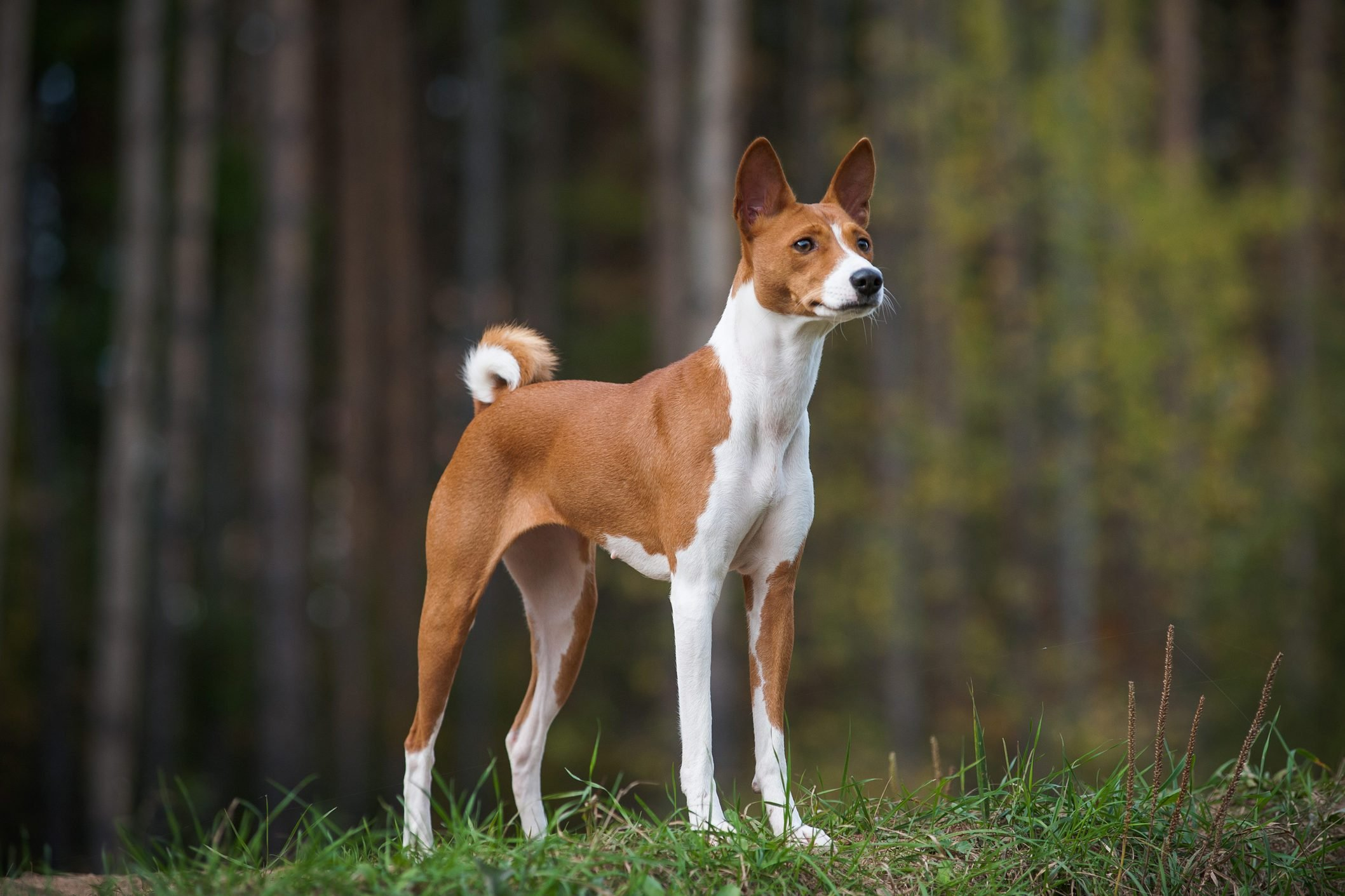Female basenji dog