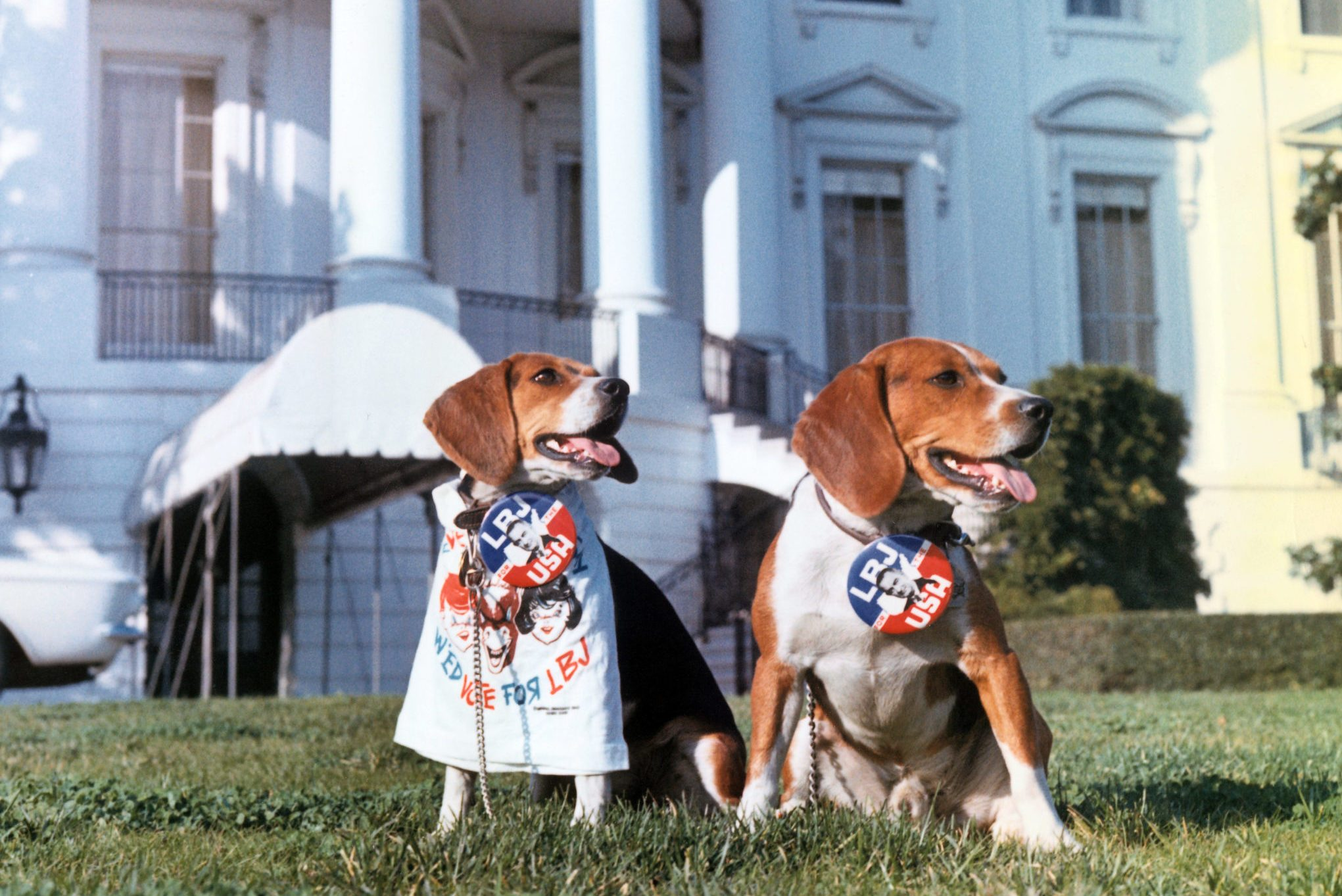 Beagles Campaigning for Lyndon B Johnson at White House