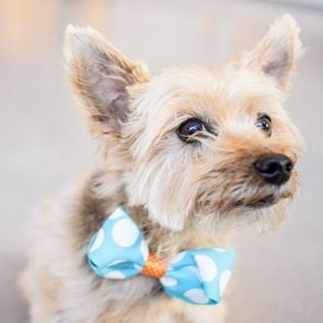 Boy terrier dog in blue and white polk-a-dot bowtie.