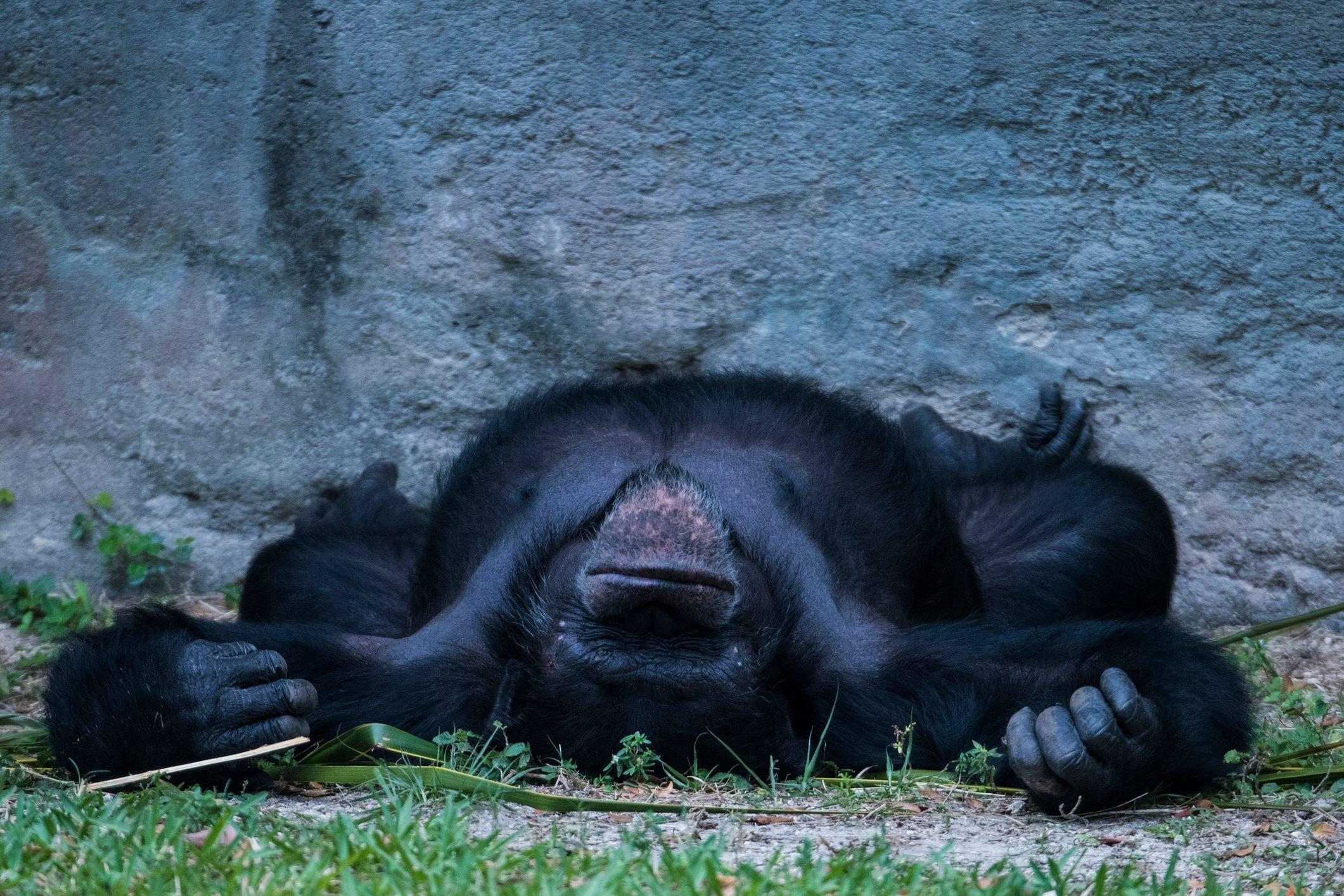 Chimpanzee sleeping on ground