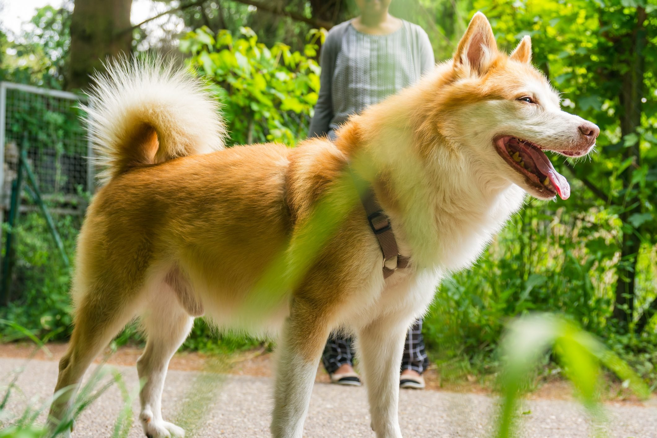 Icelandic Sheepdog Typical Home Pet Walking Around Daytime Stroll Park Happy Tongue Cute Pretty Animal
