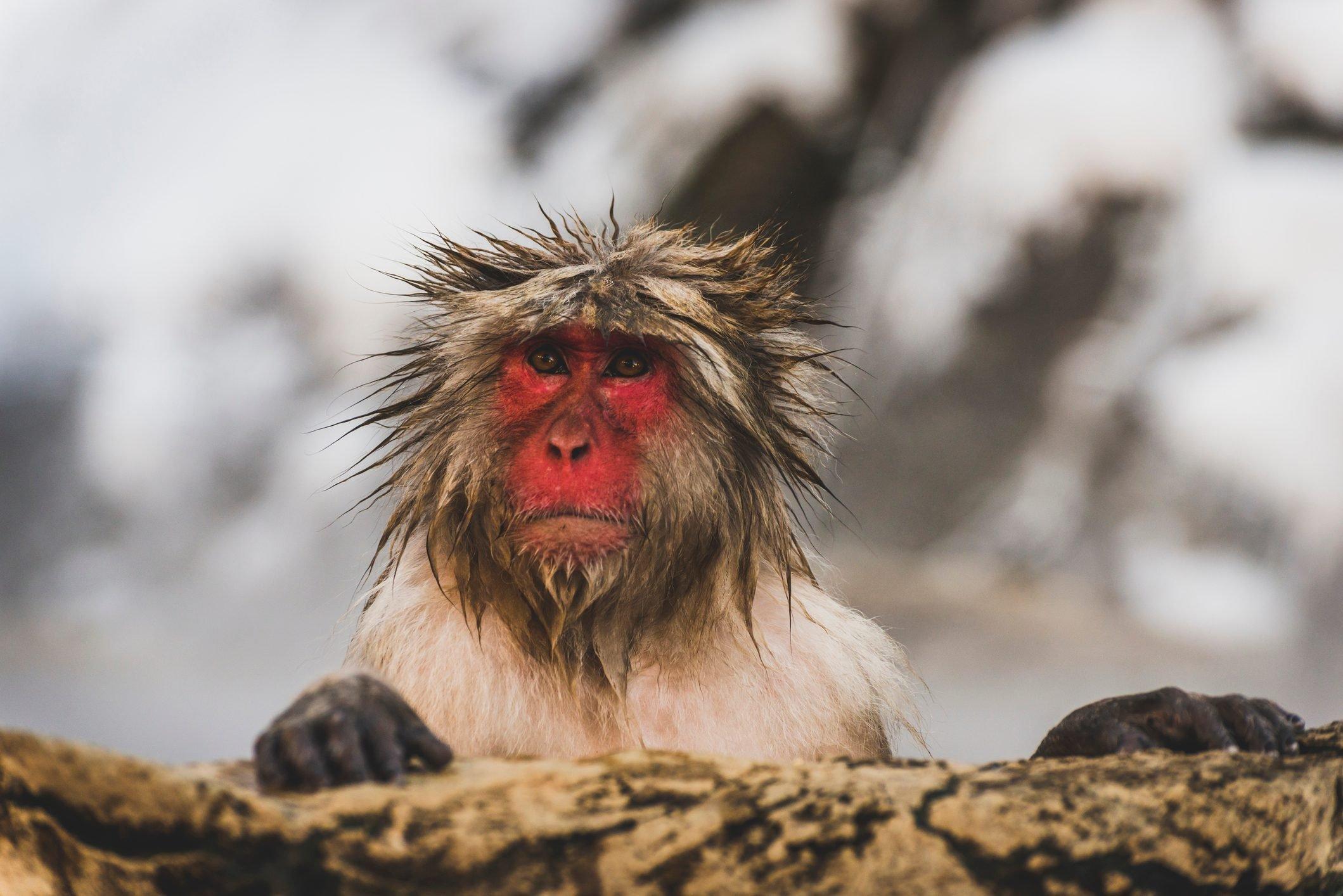 Japan, Yamanouchi, Jigokudani Monkey Park, portrait of wet red-faced makak