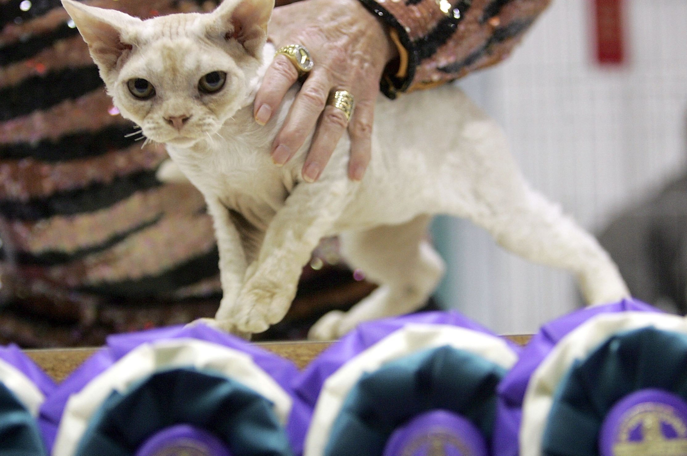 19th Annual International Cat Show Opens