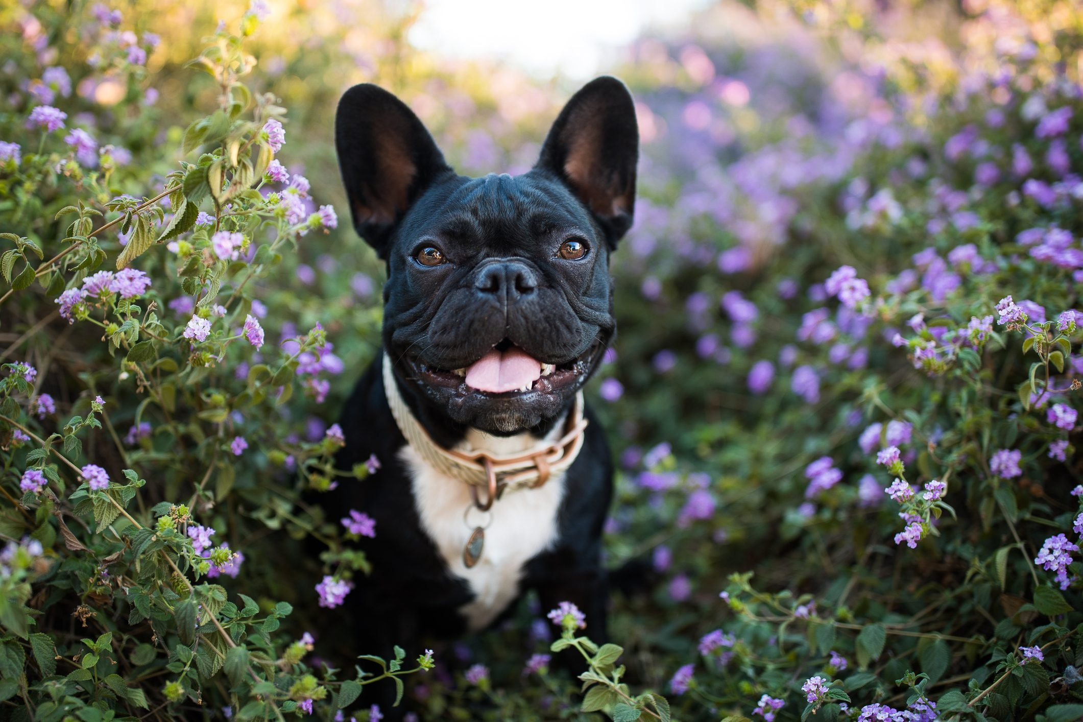Happy French Bulldog in Flowers Outdoors