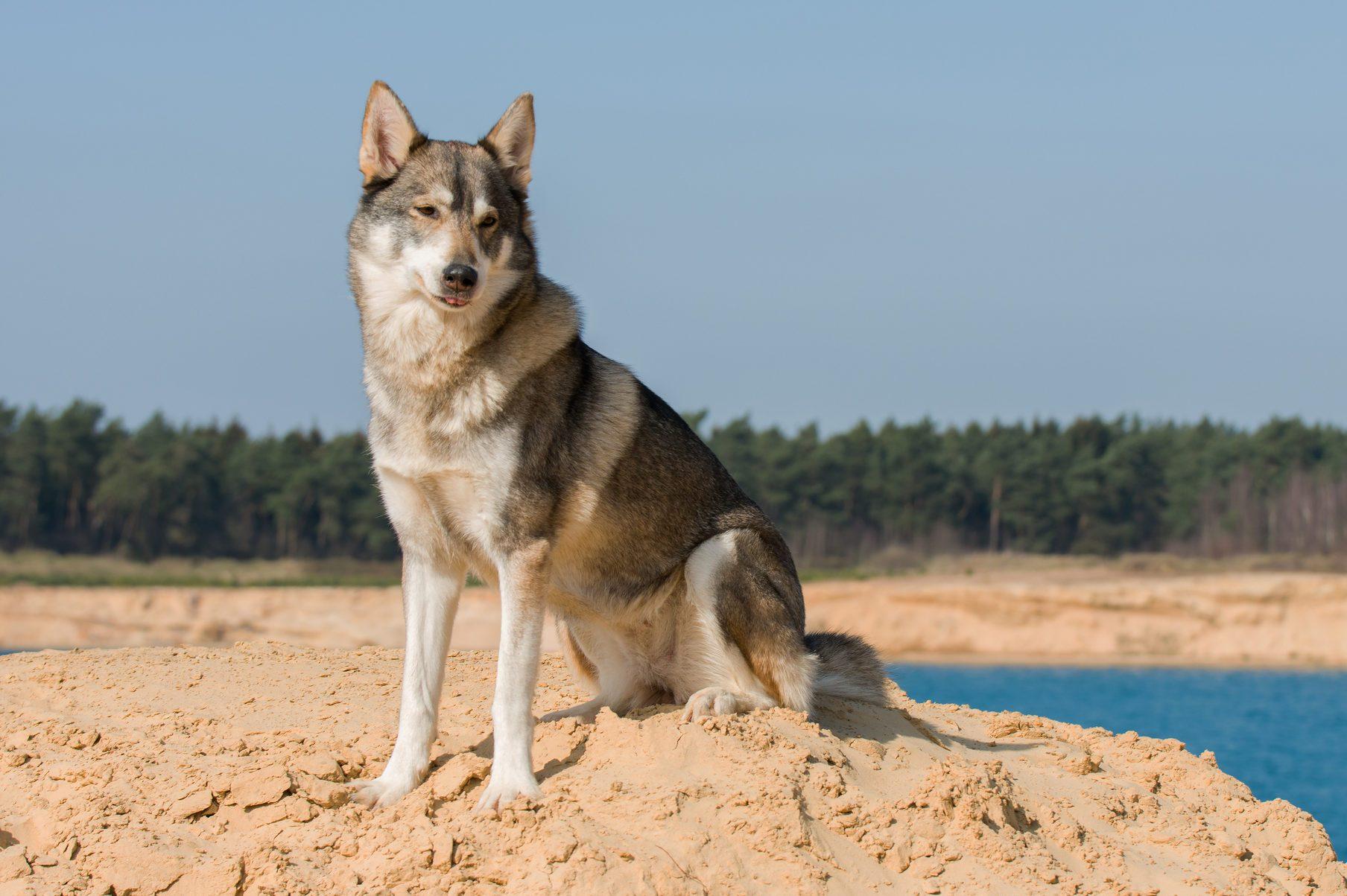 Tamaskan she-dog