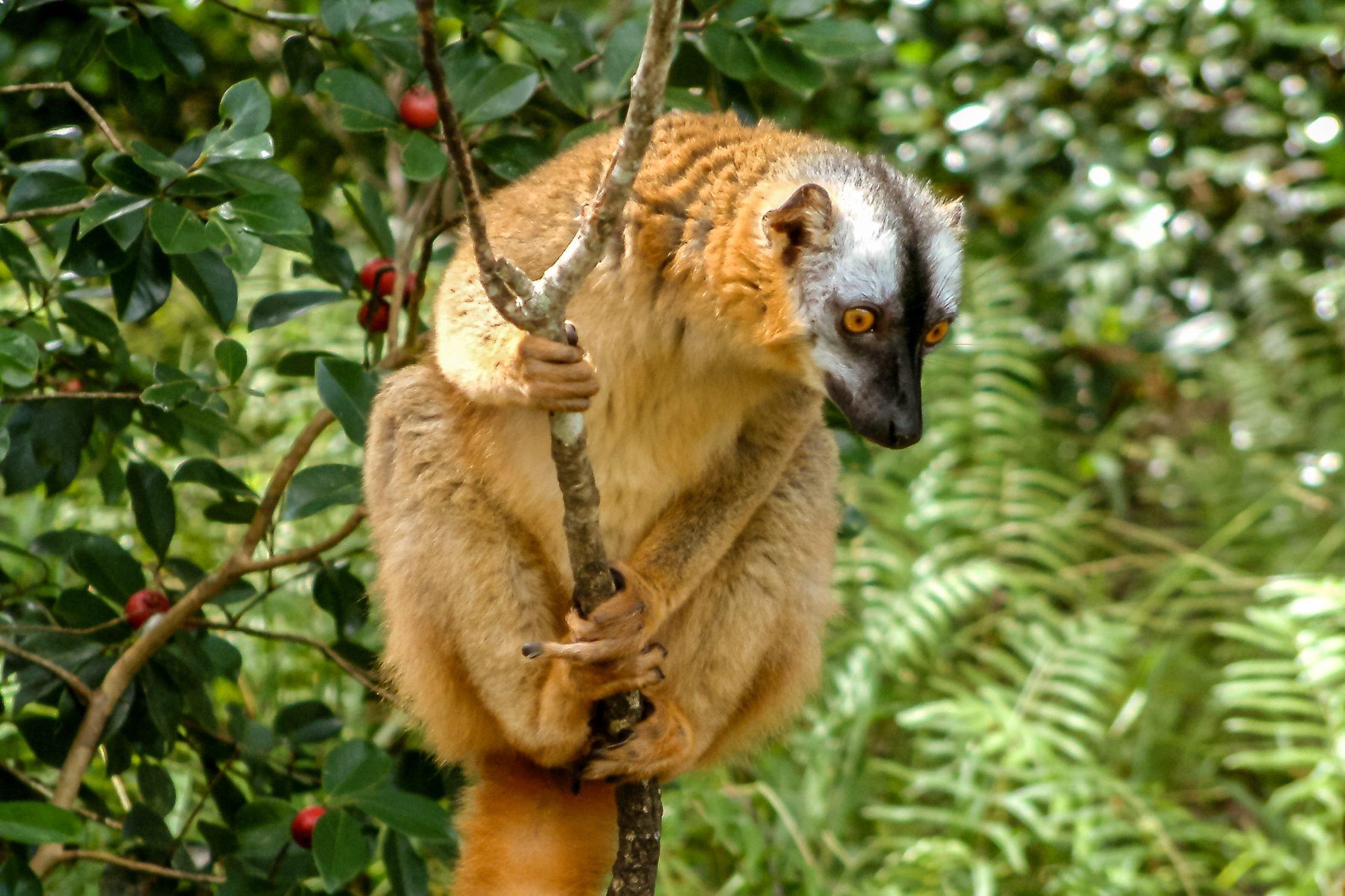 Tawny lemur