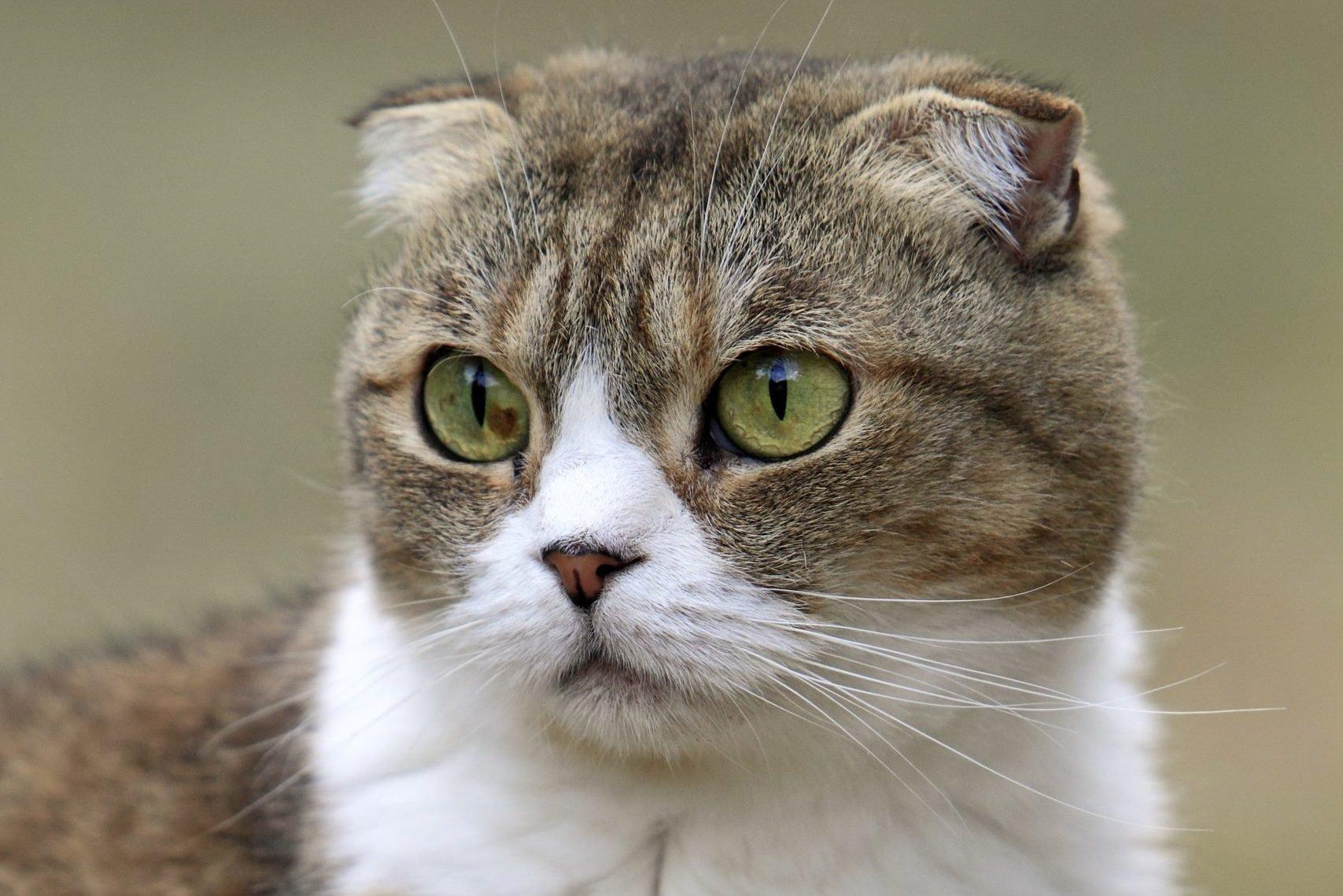 Domestic Cat, Scottish Fold