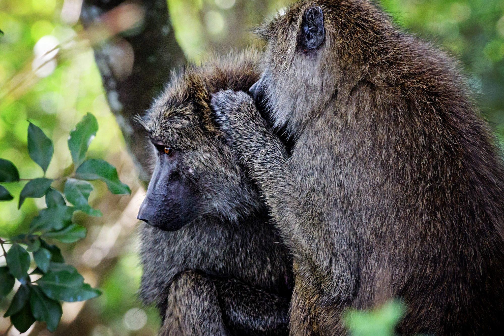 Baboons Telling Secrets in the Masai Mara, Kenya