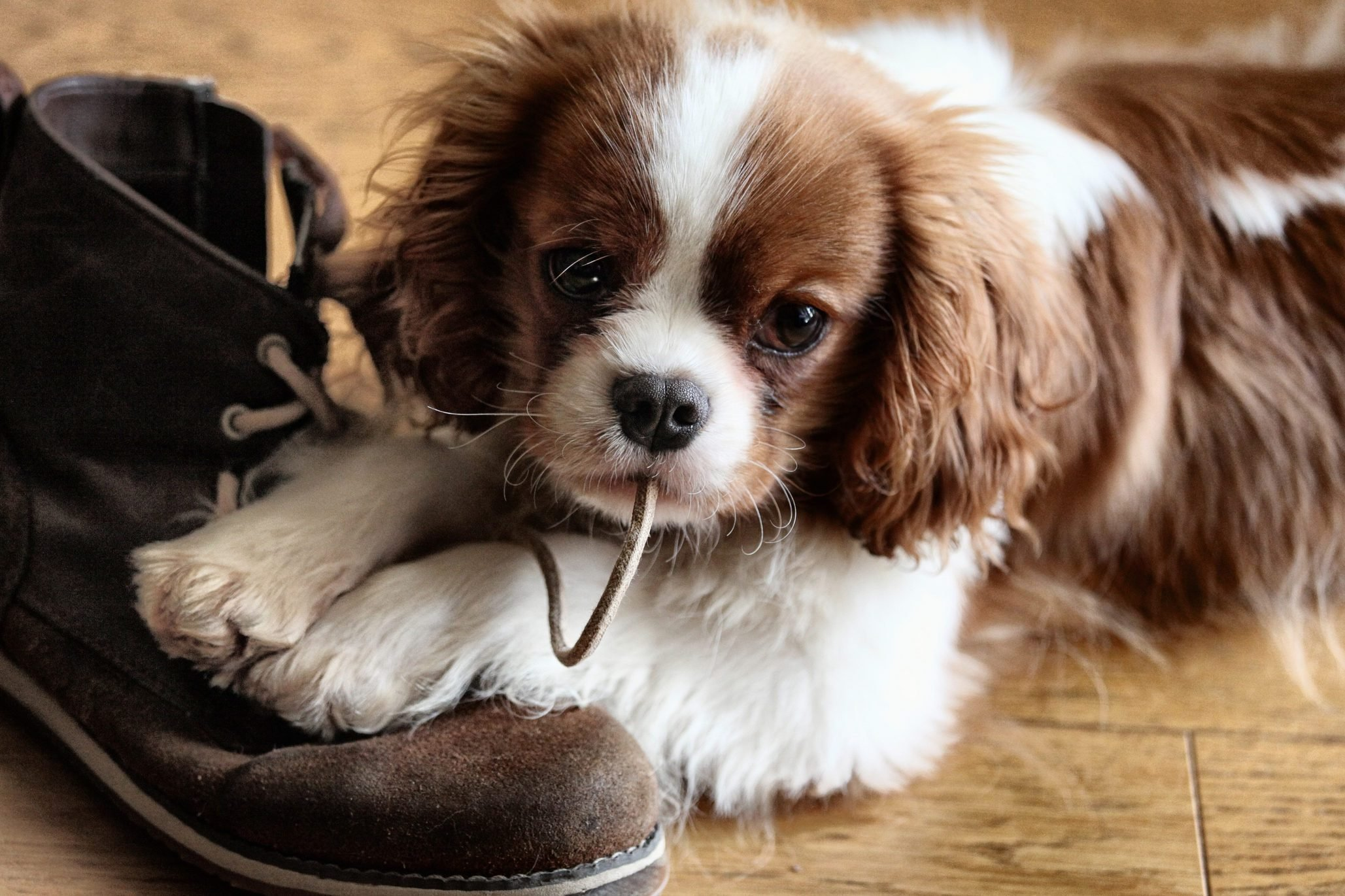 Close-Up Of Puppy Biting Shoelace