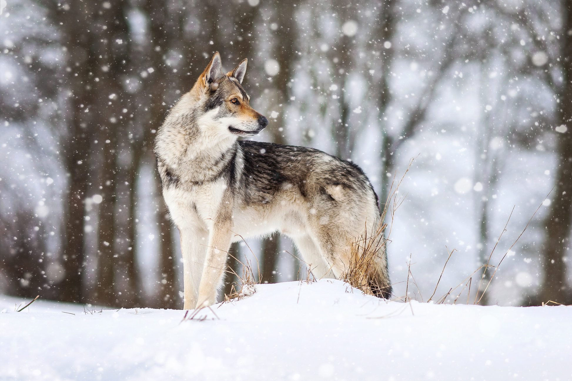 A wolf dog in the snow.