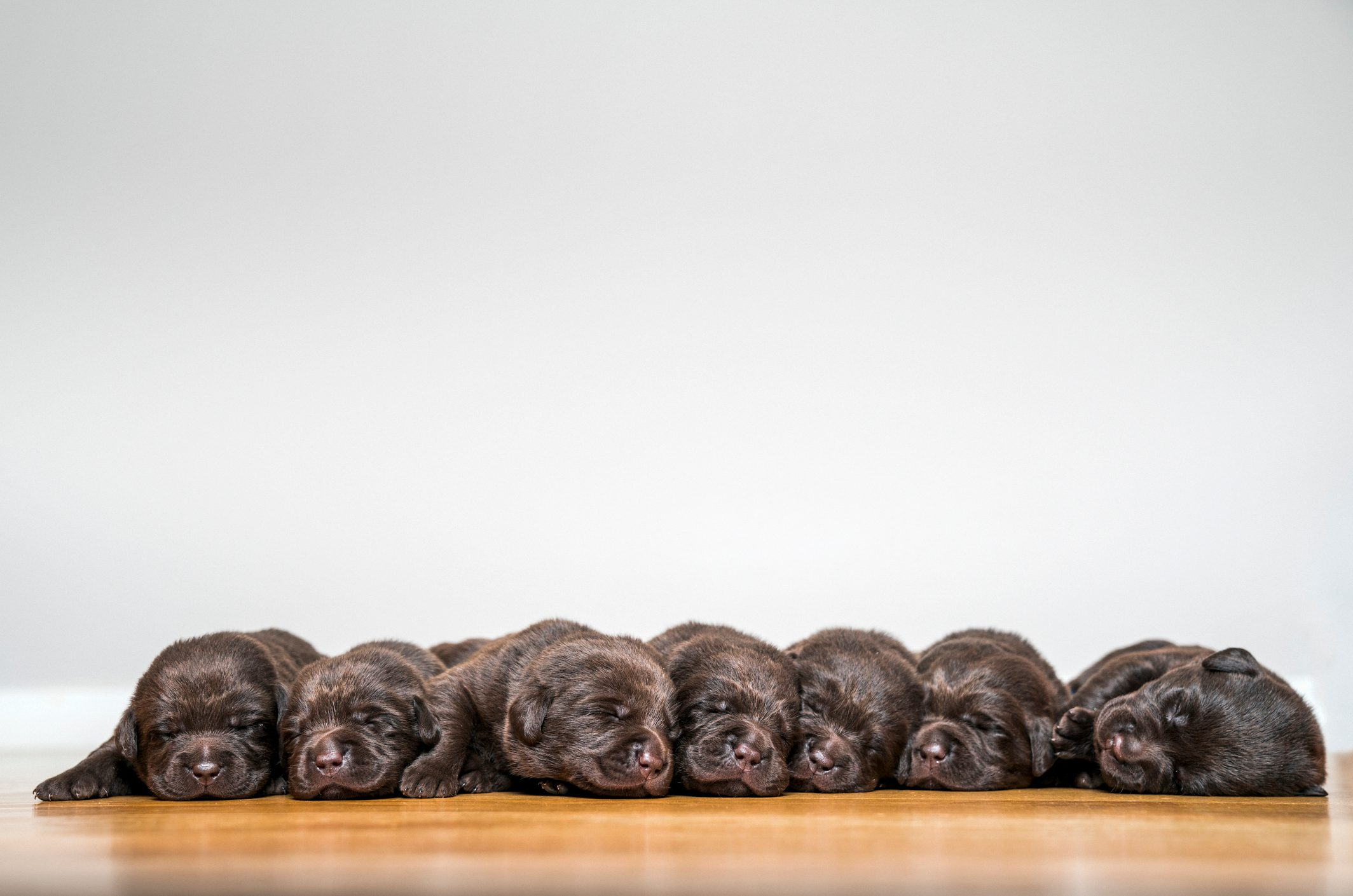 Labrador puppies laying against white background.