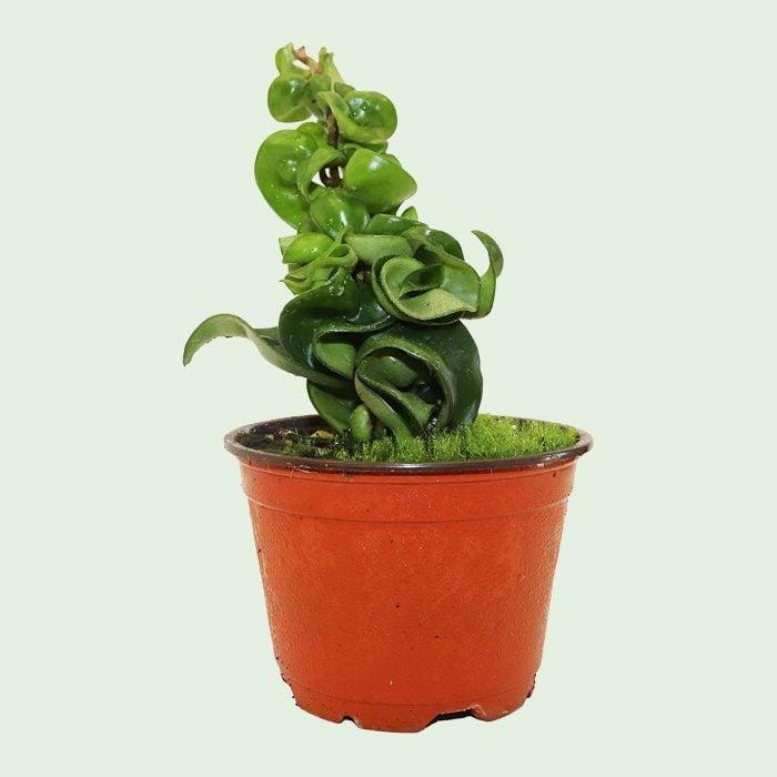 Hindu rope hoya carnosa plant