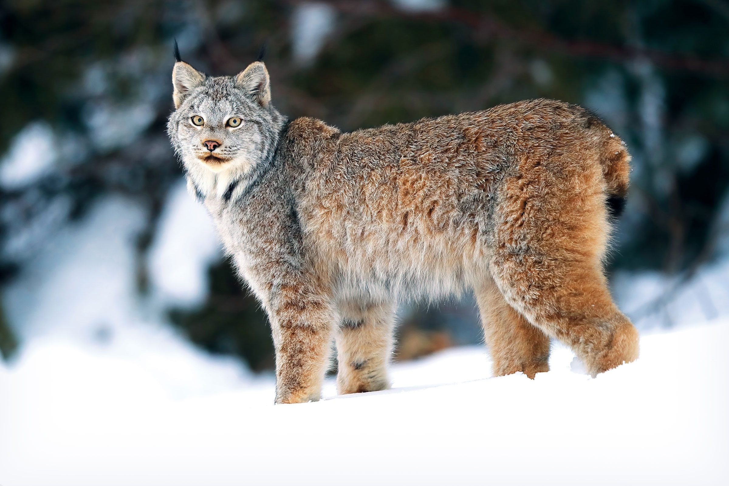 a Canada lynx standing in a snowy landscape looks directly into the camera