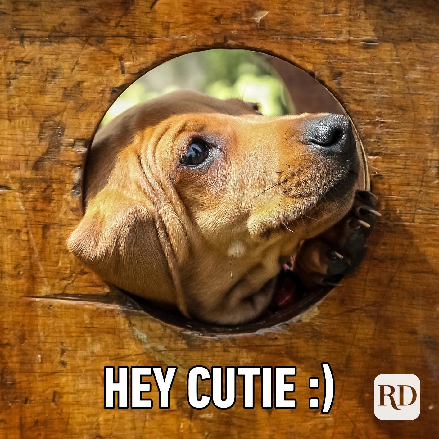 Dog peeking out of hole. Meme text: Hey cutie :)