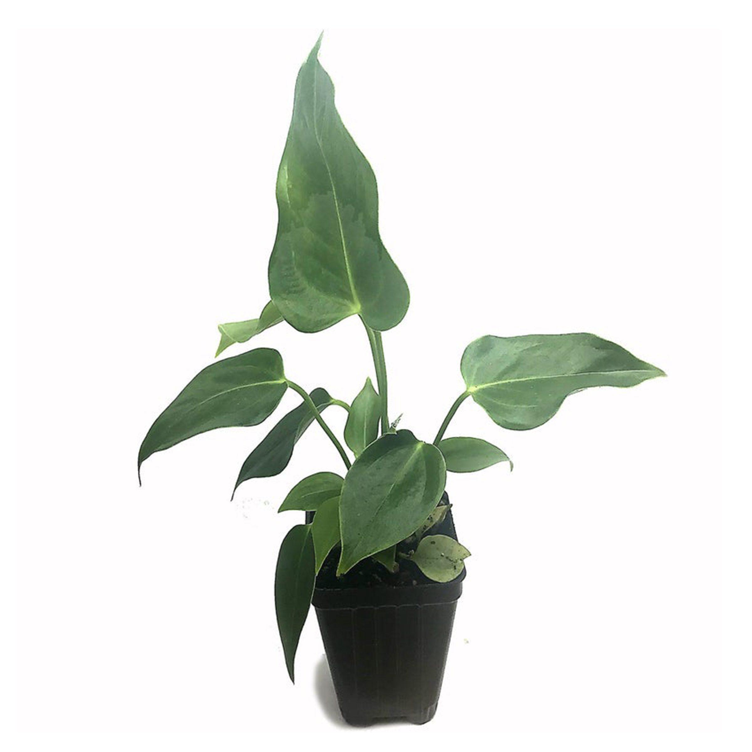 Plants King Anthurium
