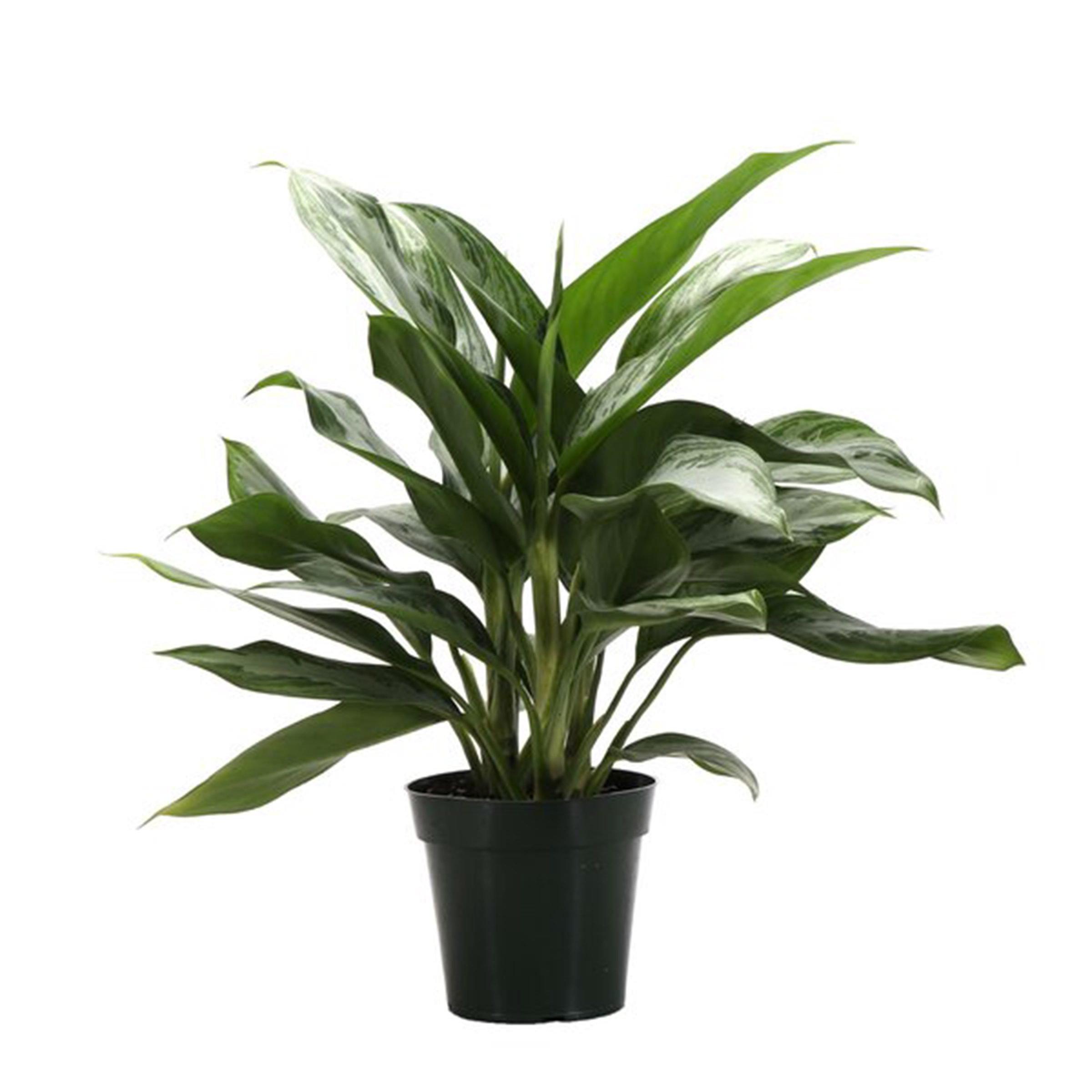 Silver Queen plant
