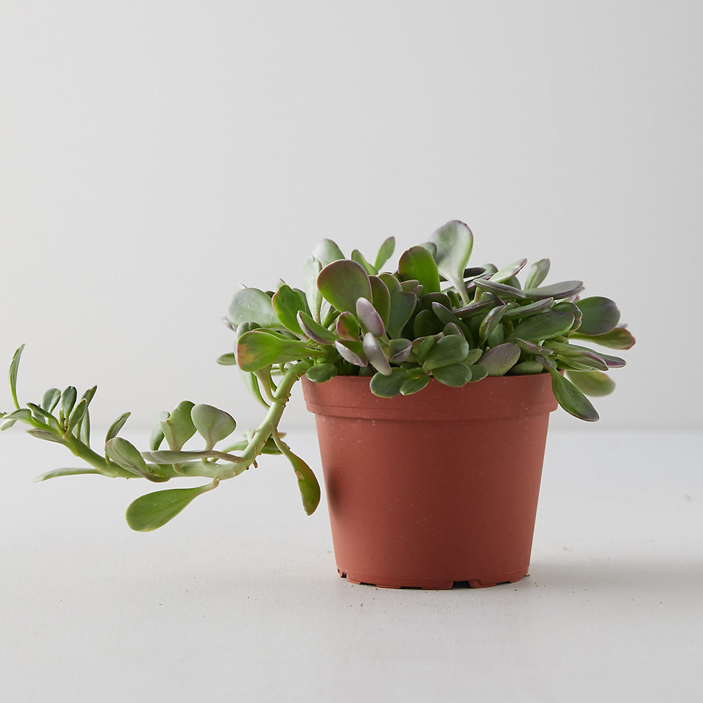Trailing jade plant