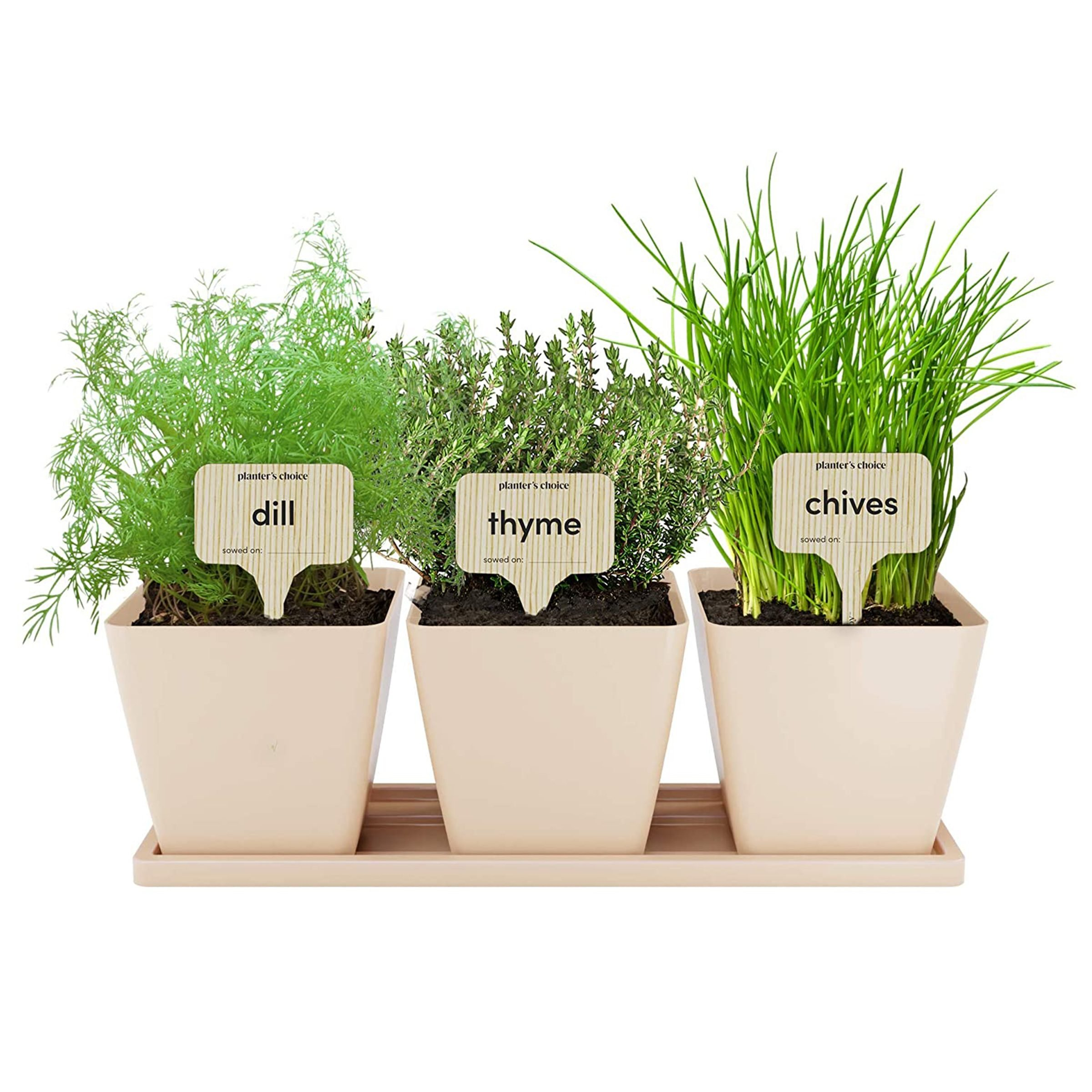 dill, thyme, and chives in small beige pots