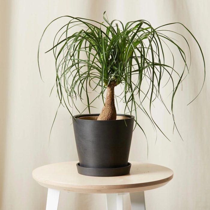 Ponytail palm house plant