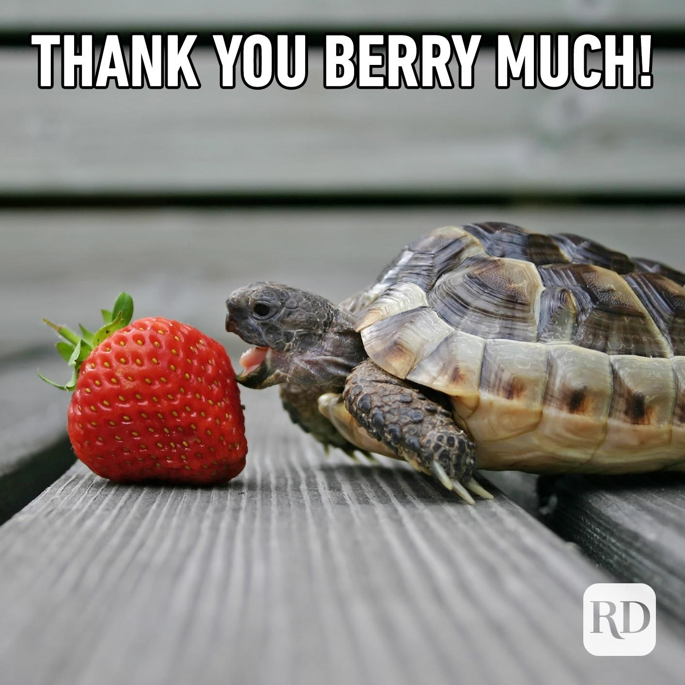 Turtle licking strawberry. Meme text: Thank you berry much!