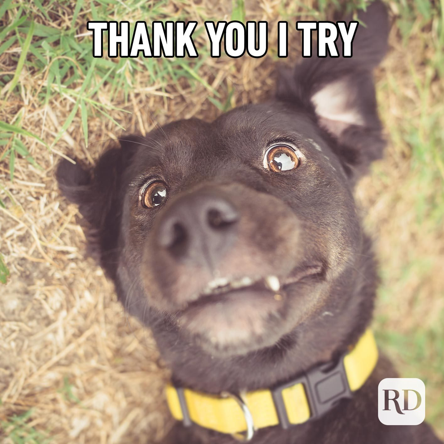 Dog rolling. Meme text: Thank you I try