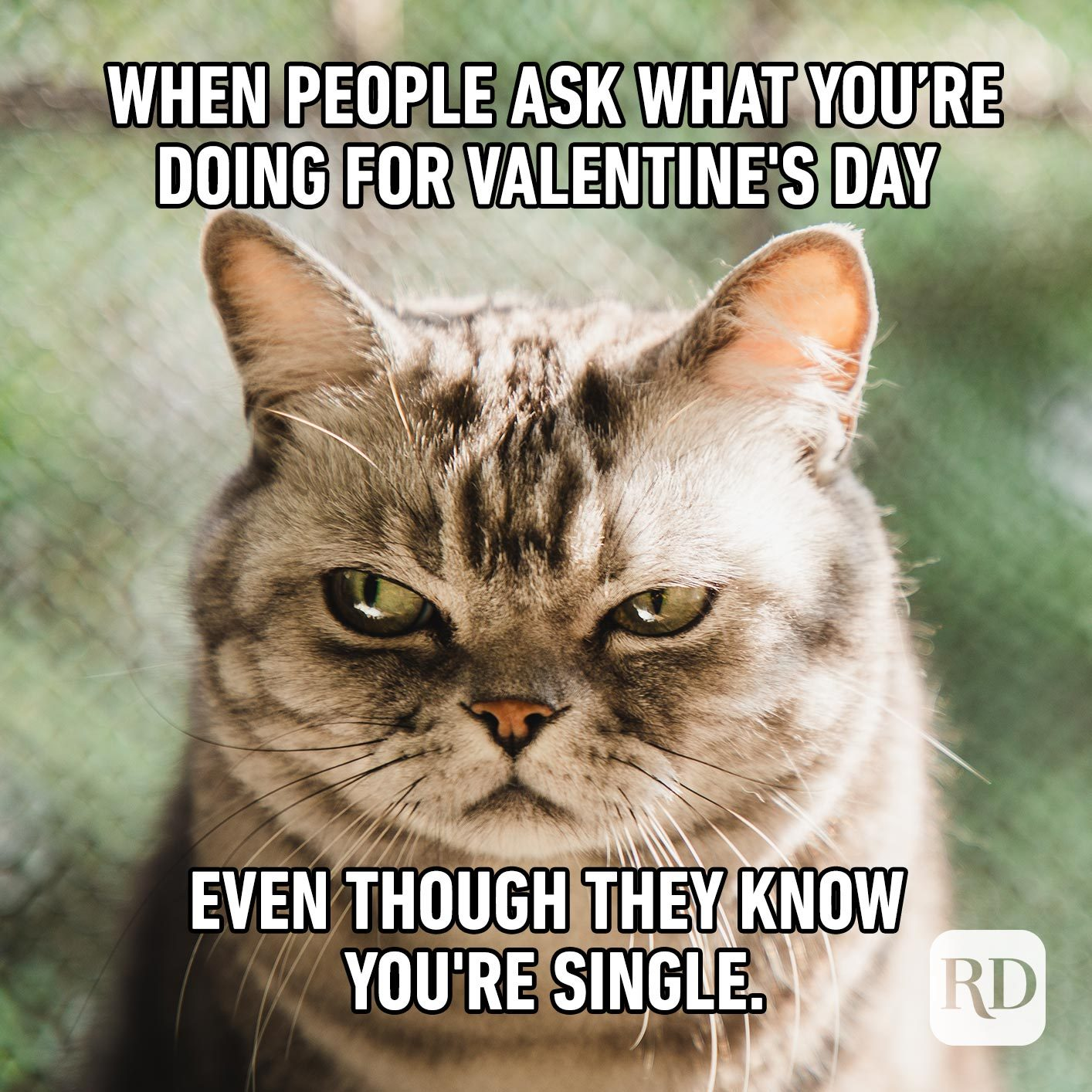 Furious cat. Meme text: When people ask what you're doing for Valentine's Day even though they know you're single.