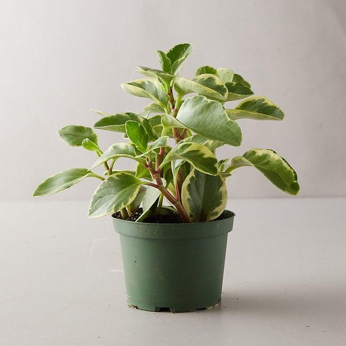 Peperomia house plant