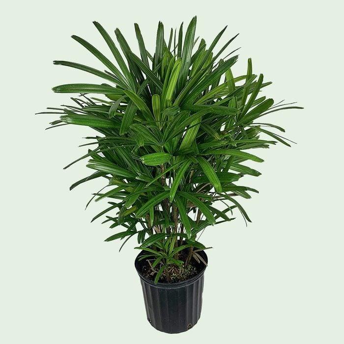Lady palm house plant
